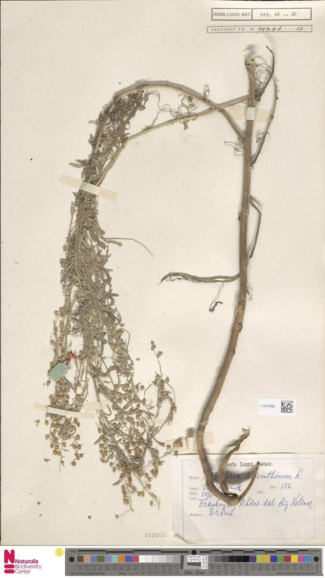 L.3014063 | Artemisia absinthium L.
