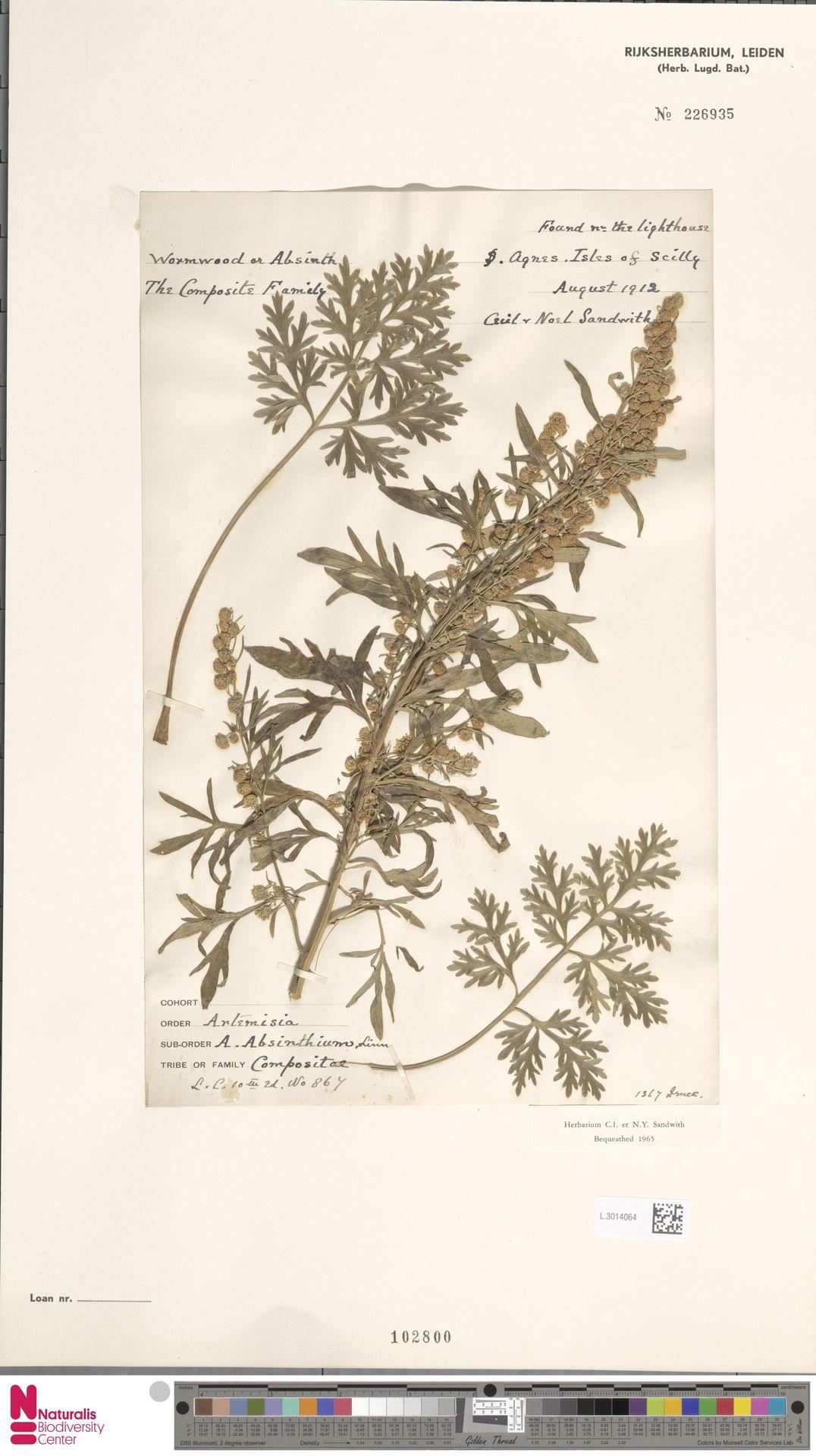 L.3014064   Artemisia absinthium L.