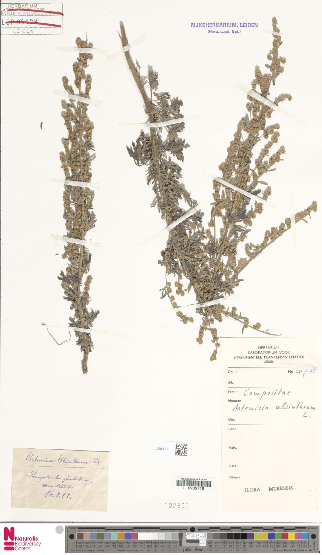 L.3014157 | Artemisia absinthium L.