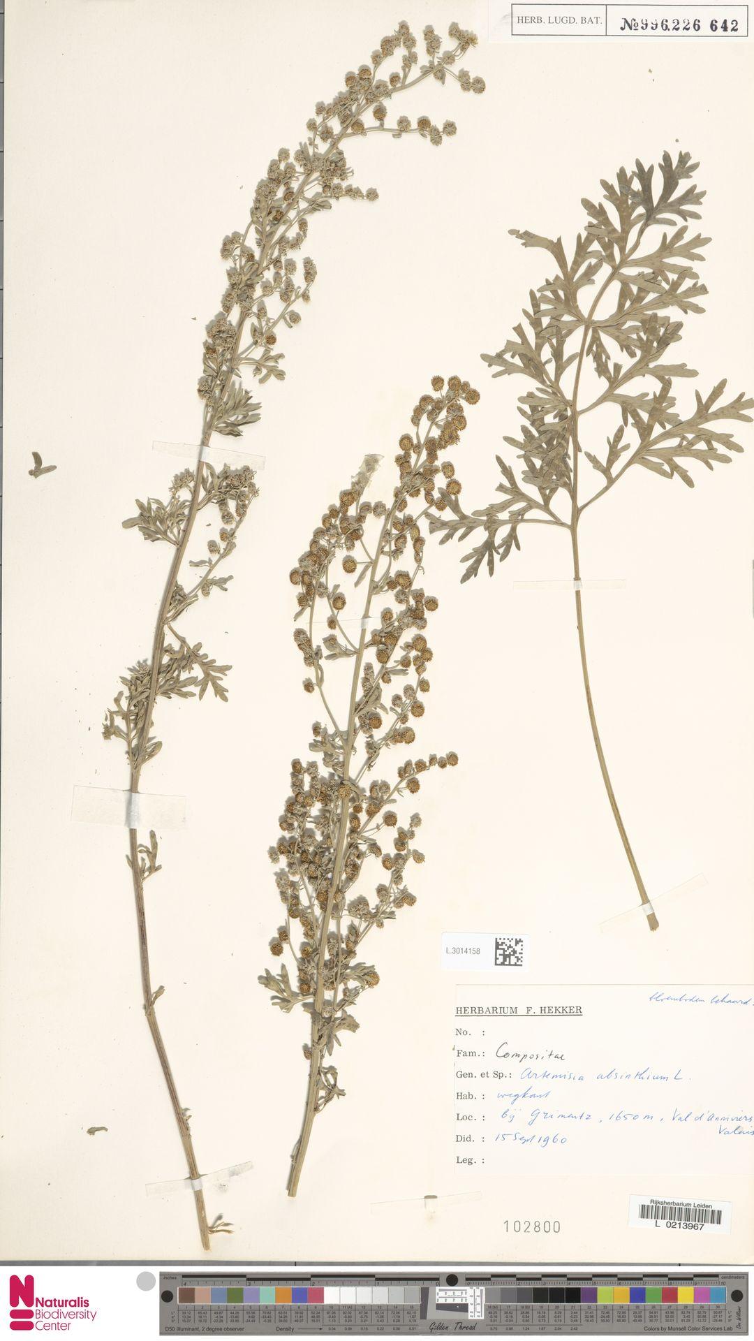 L.3014158 | Artemisia absinthium L.