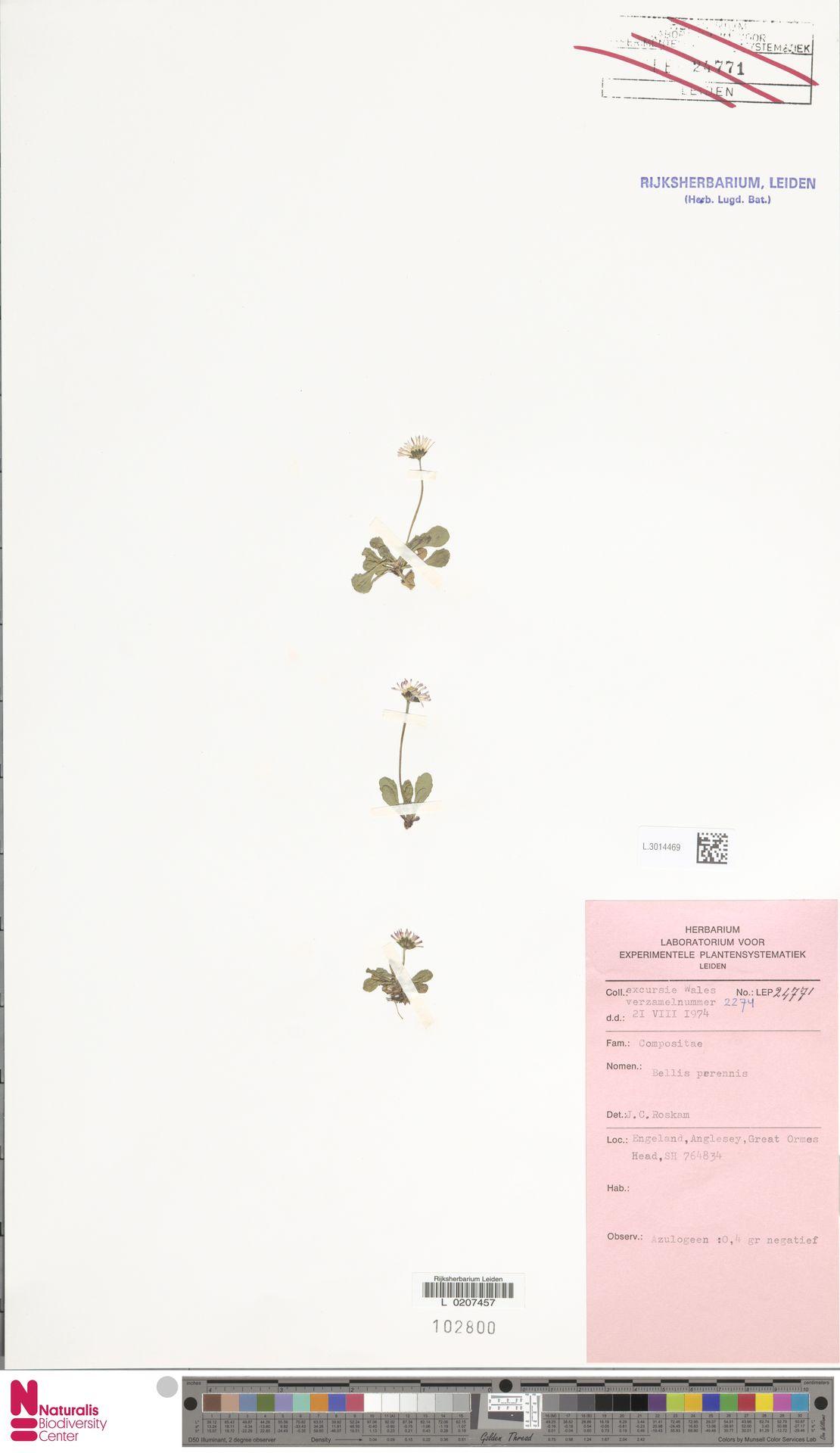 L.3014469   Bellis perennis L.