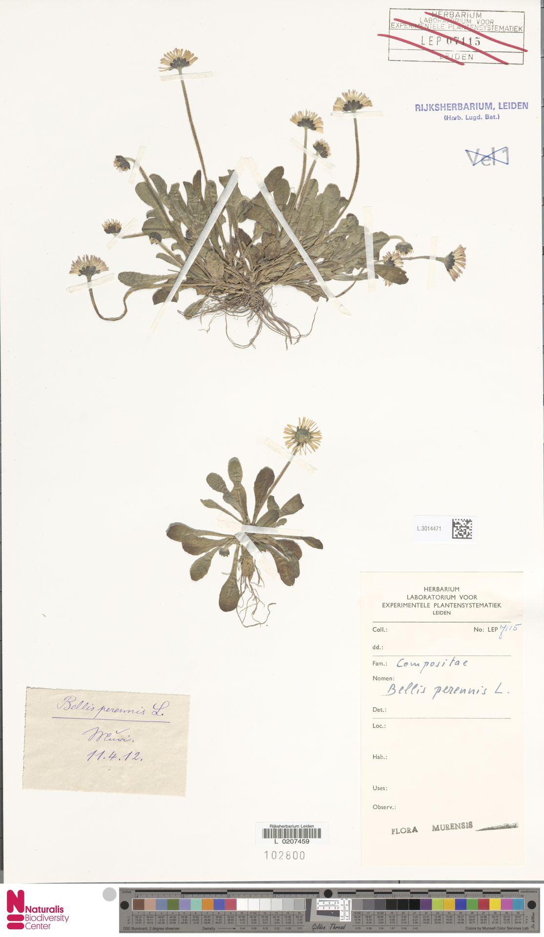 L.3014471 | Bellis perennis L.