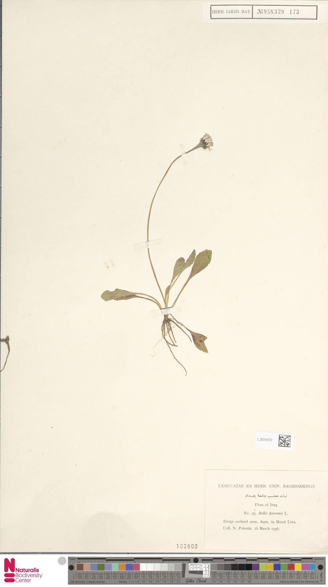 L.3014472 | Bellis perennis L.