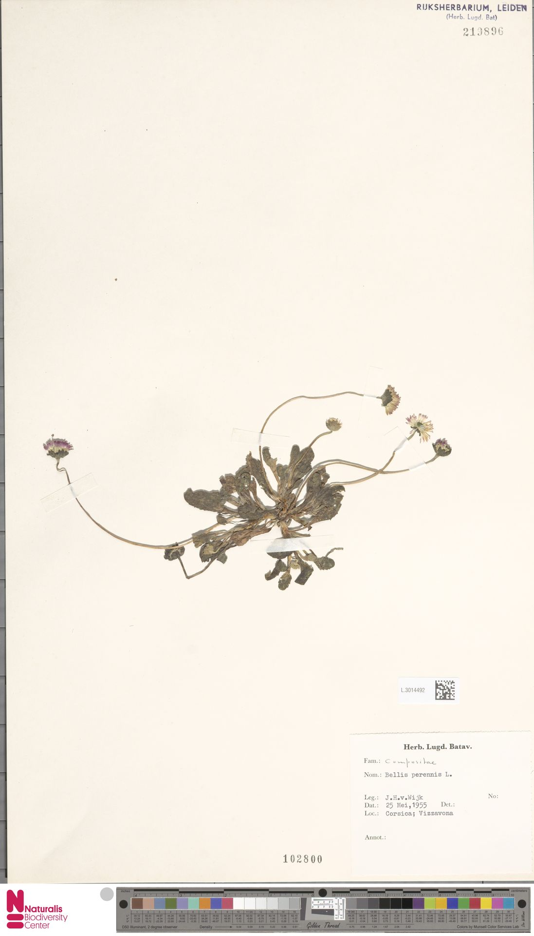 L.3014492 | Bellis perennis L.