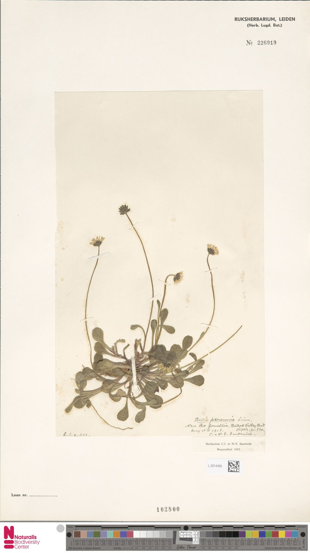 L.3014495 | Bellis perennis L.