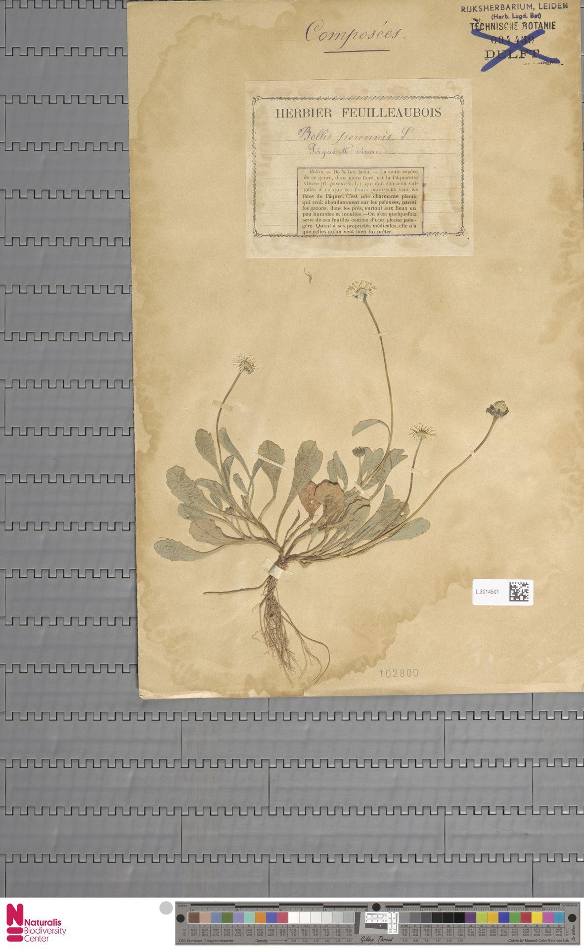 L.3014501 | Bellis perennis L.