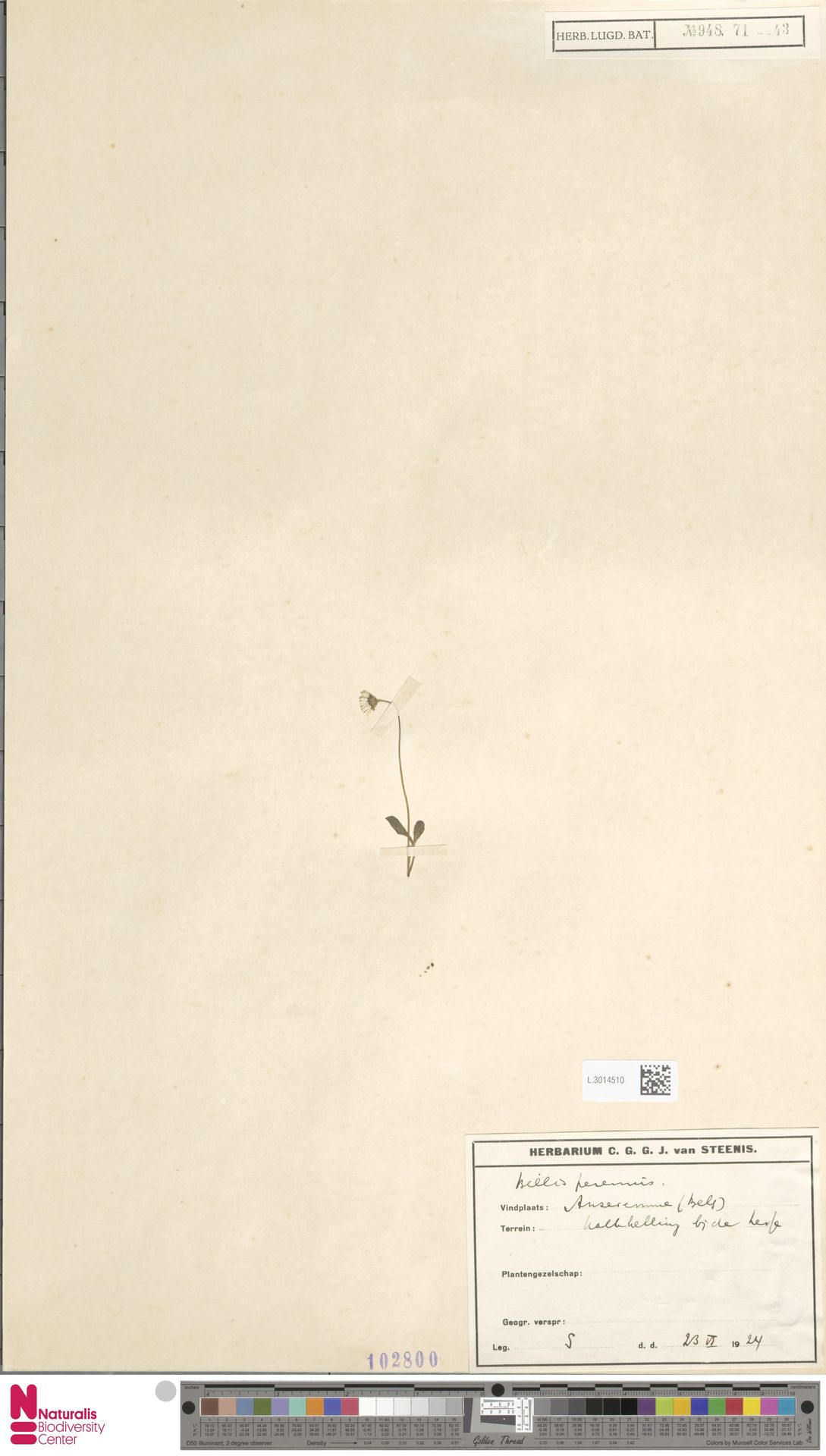 L.3014510 | Bellis perennis L.