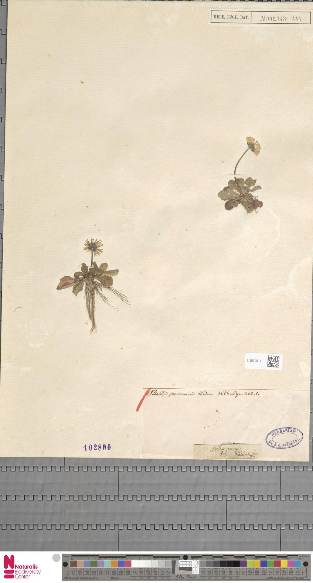 L.3014514 | Bellis perennis L.