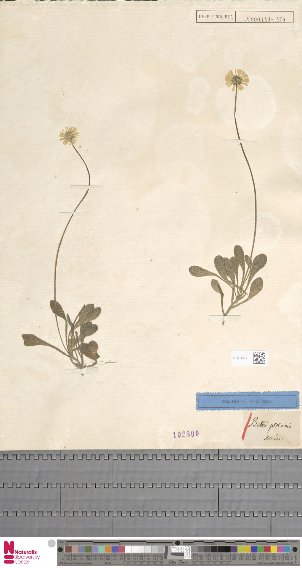 L.3014517   Bellis perennis L.