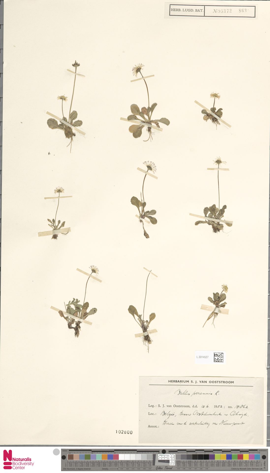 L.3014527 | Bellis perennis L.