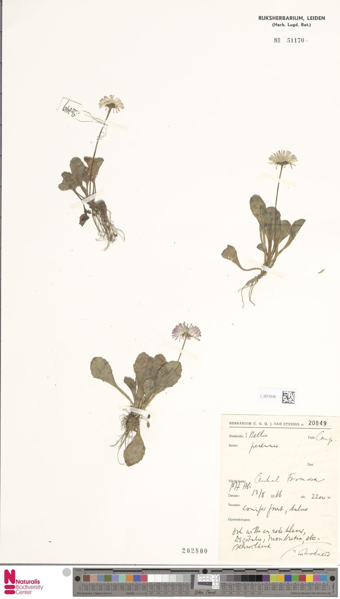 L.3014548 | Bellis perennis L.