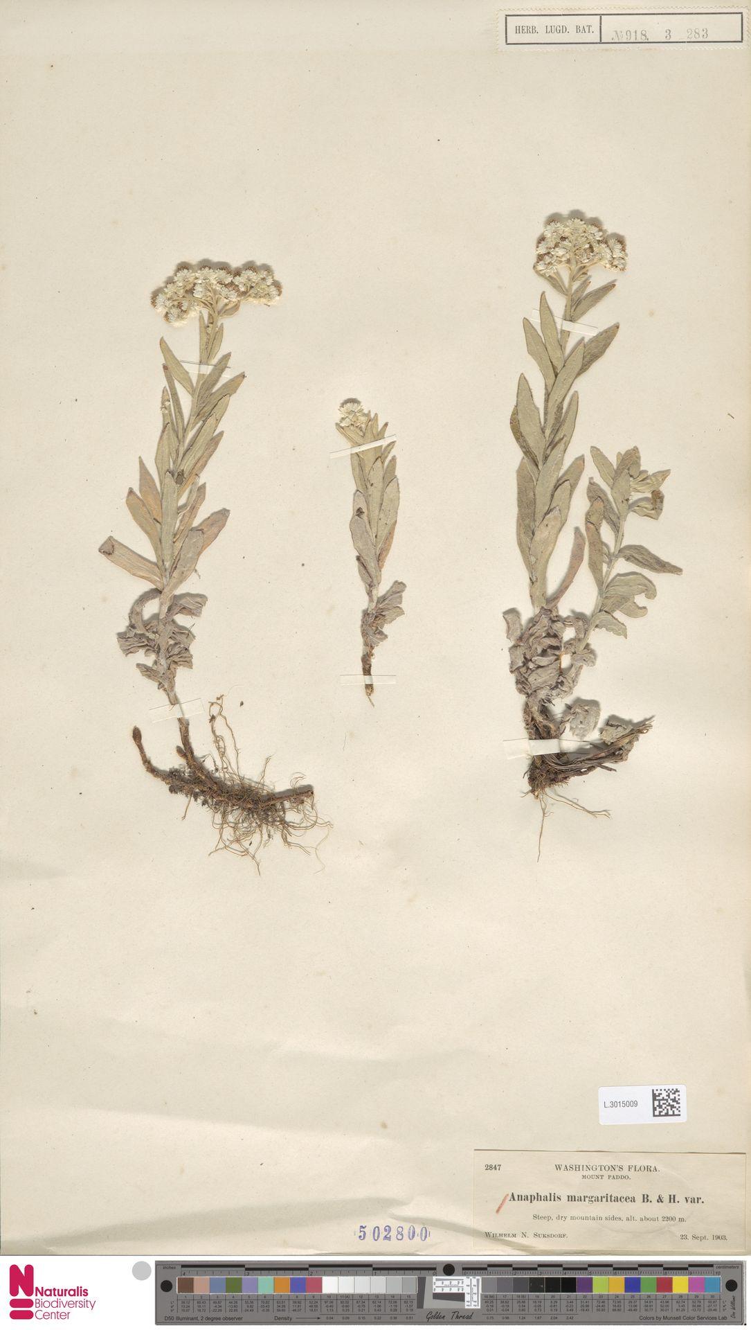 L.3015009 | Anaphalis margaritacea (L.) Benth. & Hook.f.