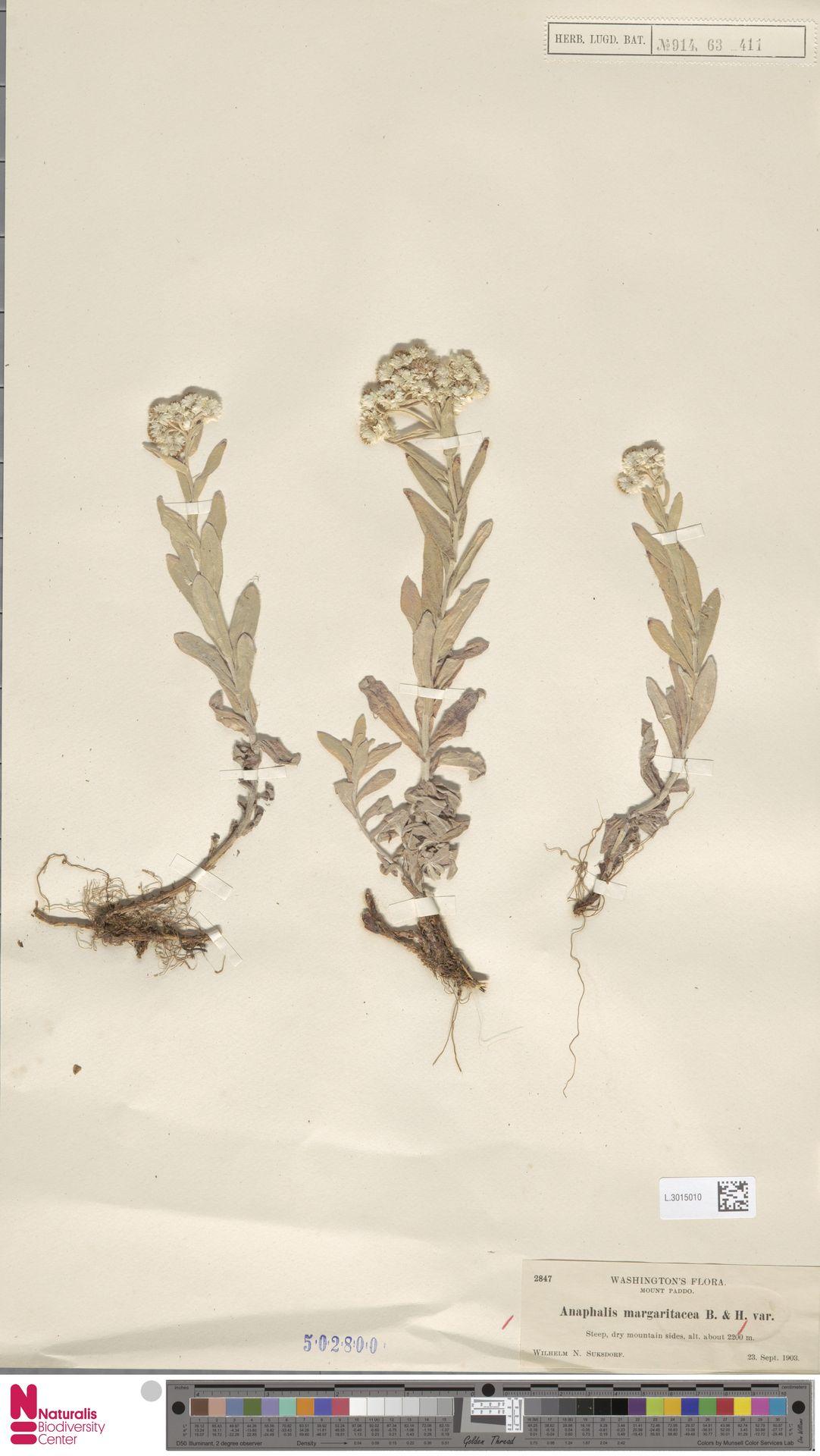 L.3015010 | Anaphalis margaritacea (L.) Benth. & Hook.f.