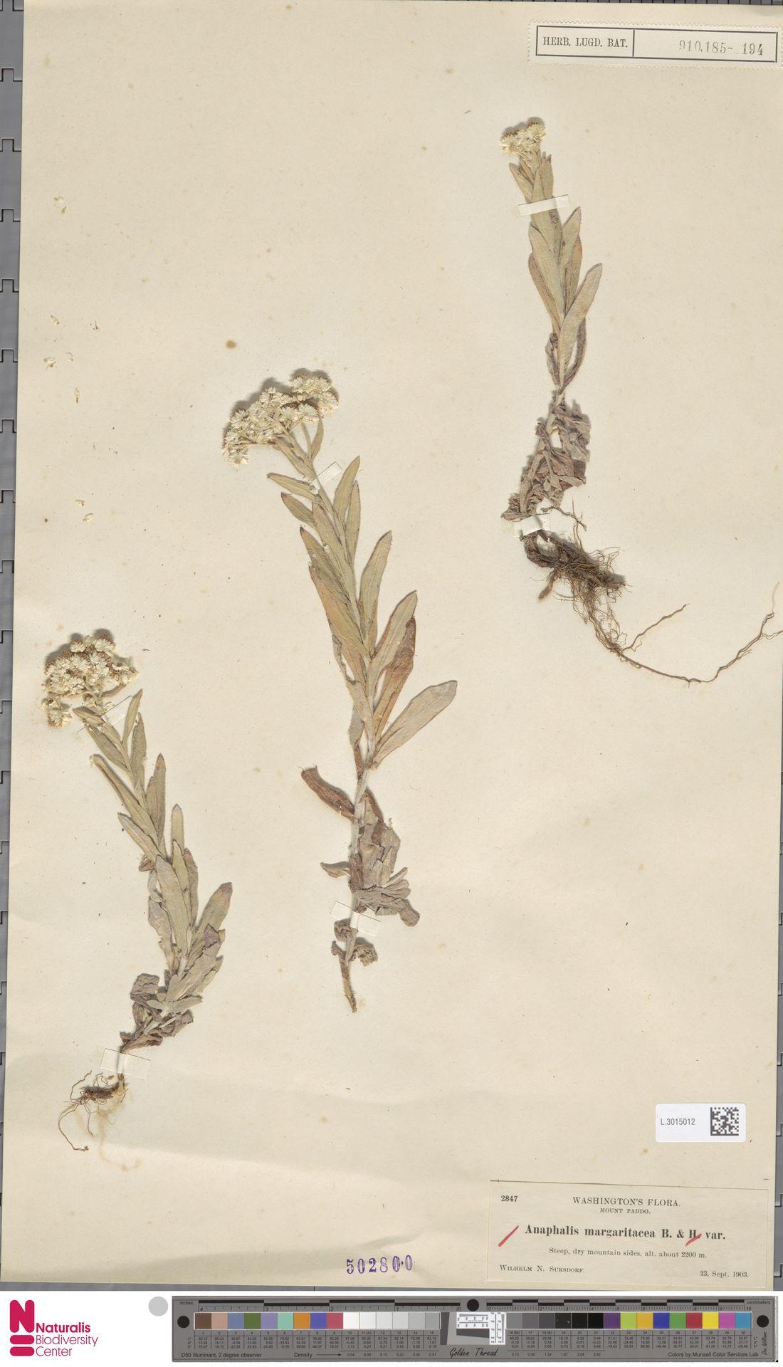 L.3015012 | Anaphalis margaritacea (L.) Benth. & Hook.f.