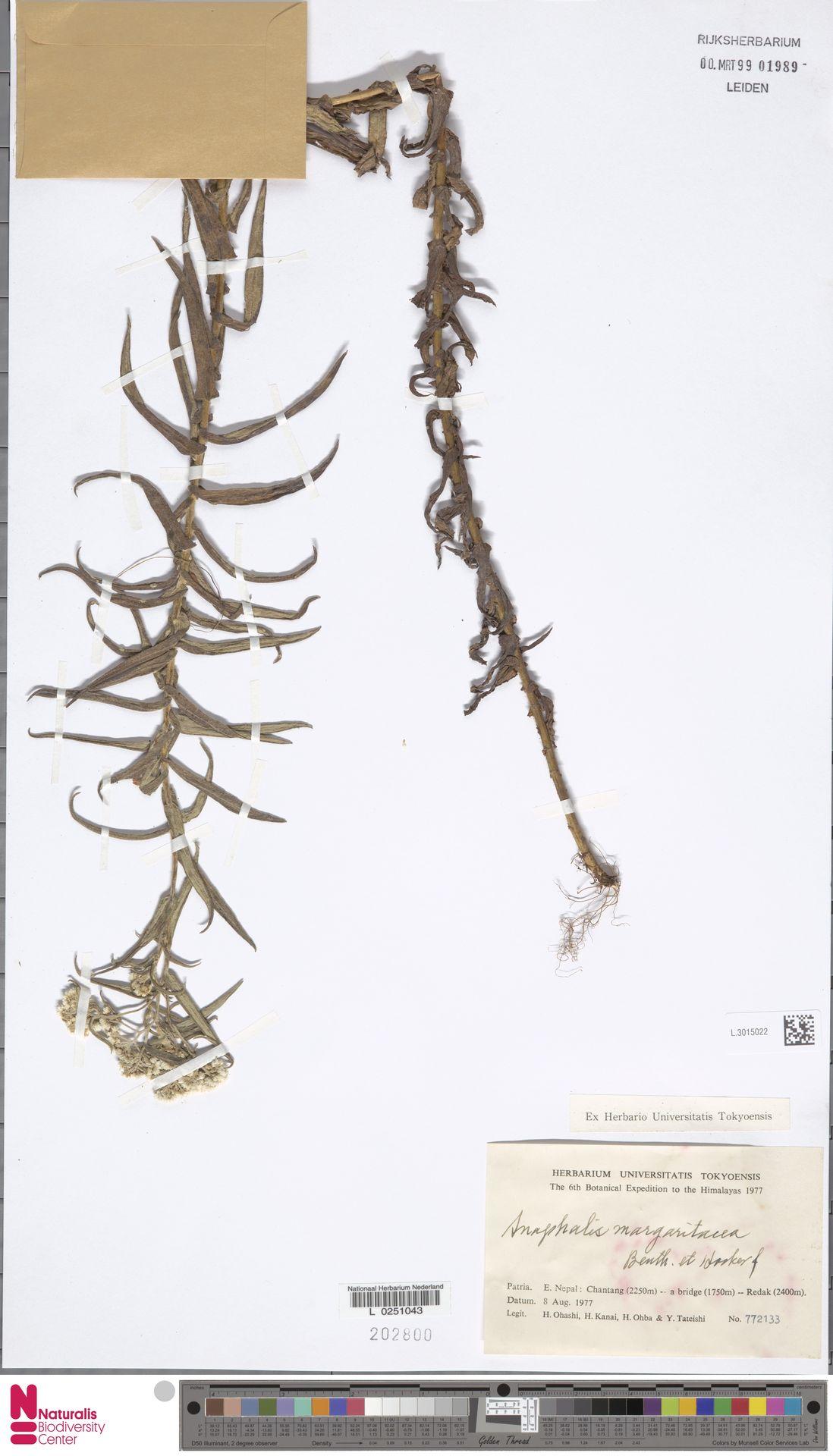 L.3015022 | Anaphalis margaritacea (L.) Benth. & Hook.f.