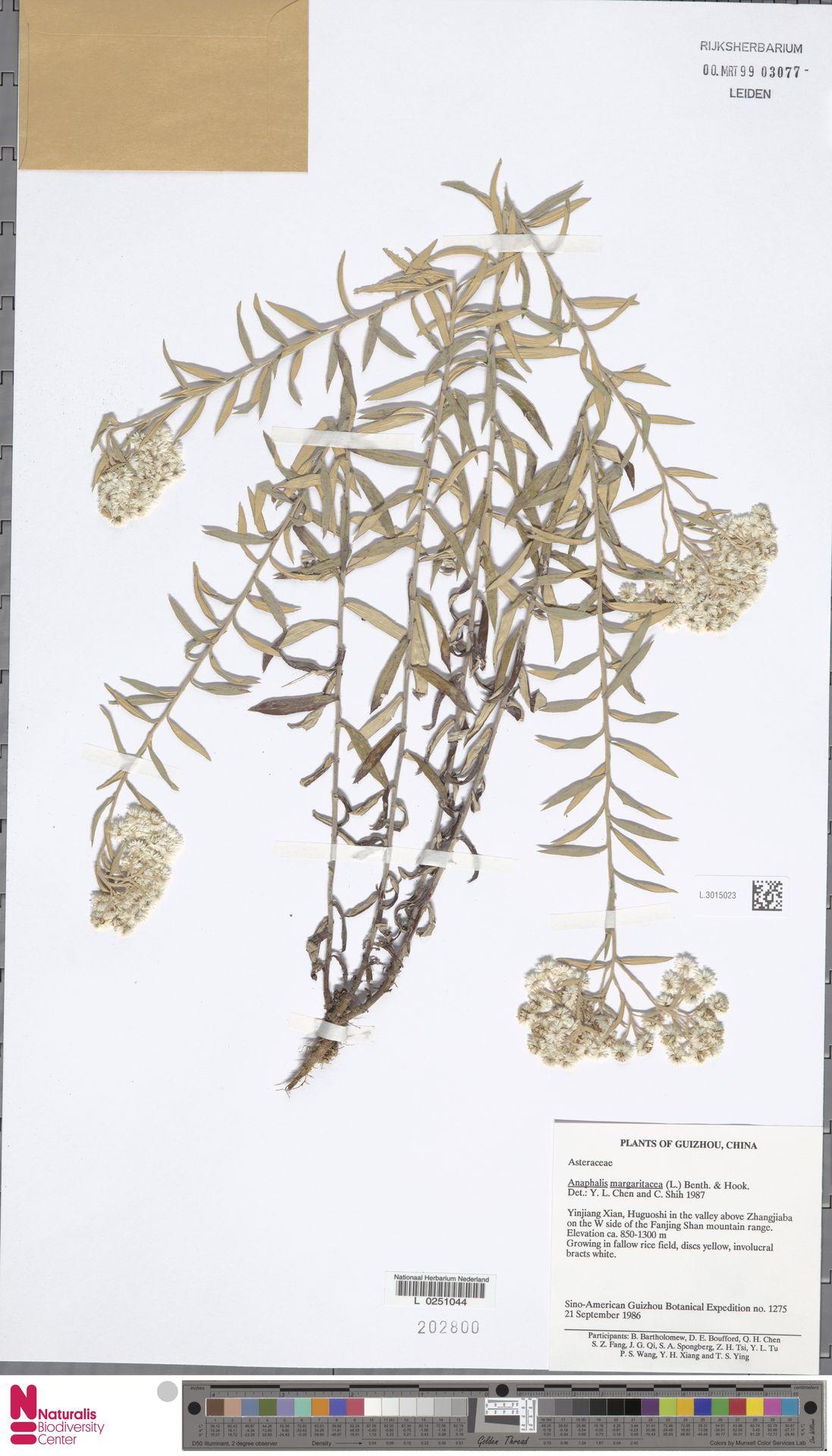 L.3015023 | Anaphalis margaritacea (L.) Benth. & Hook.f.