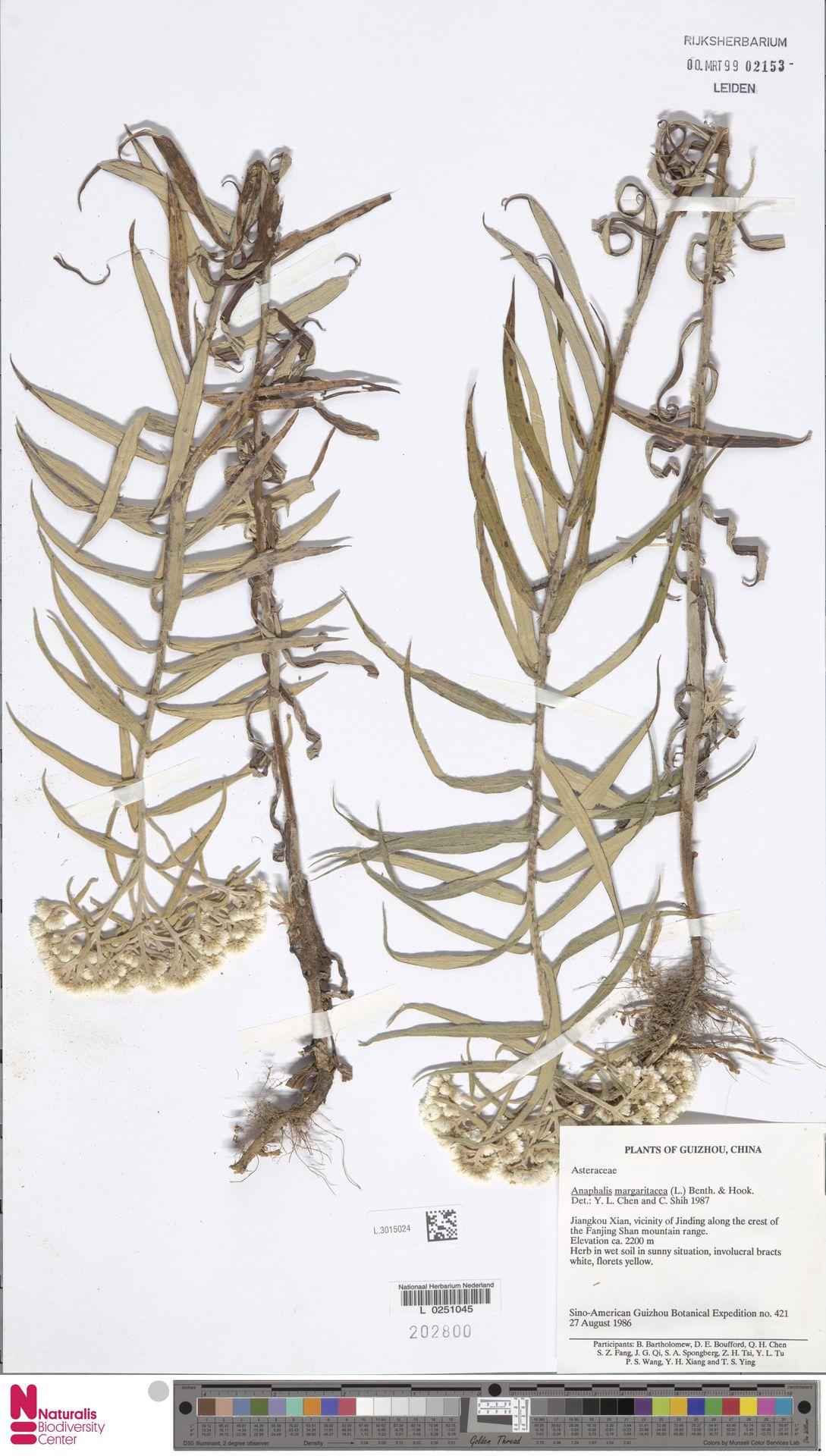 L.3015024 | Anaphalis margaritacea (L.) Benth. & Hook.f.
