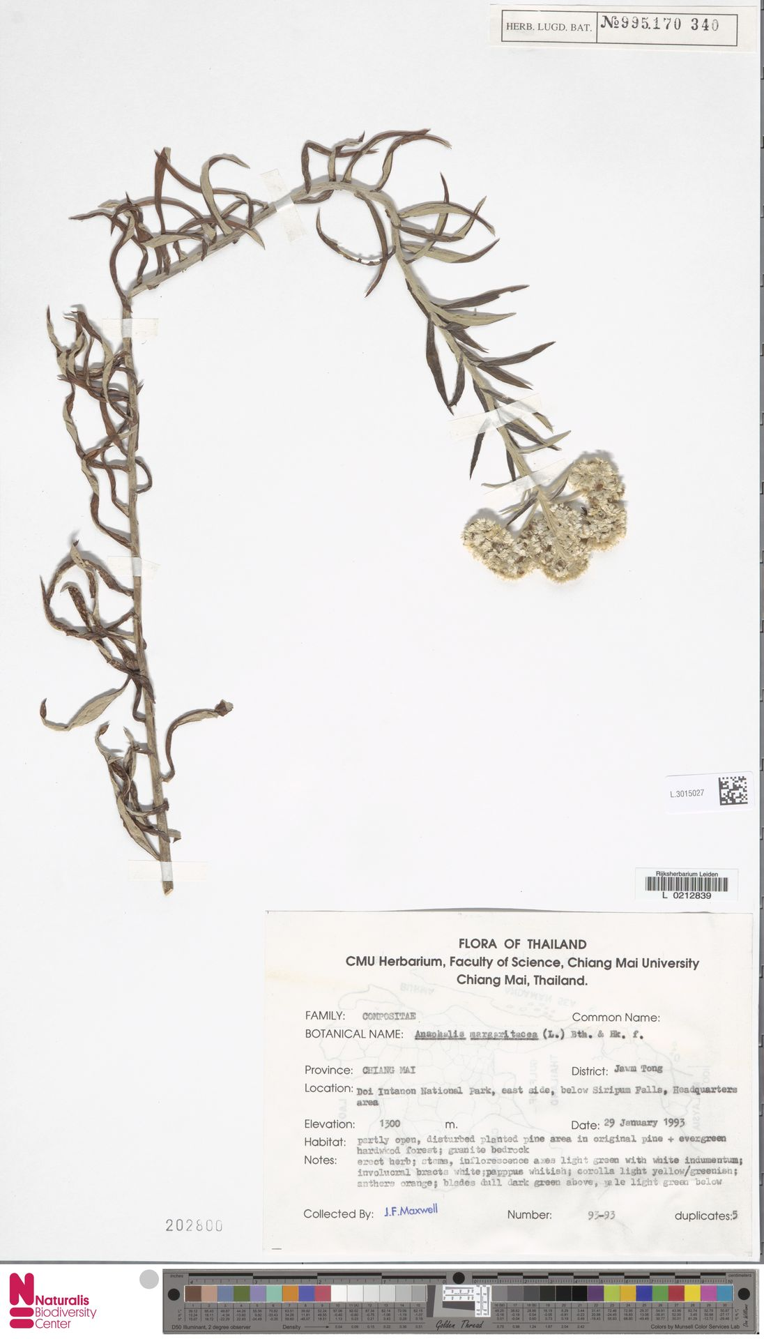 L.3015027 | Anaphalis margaritacea (L.) Benth. & Hook.f.