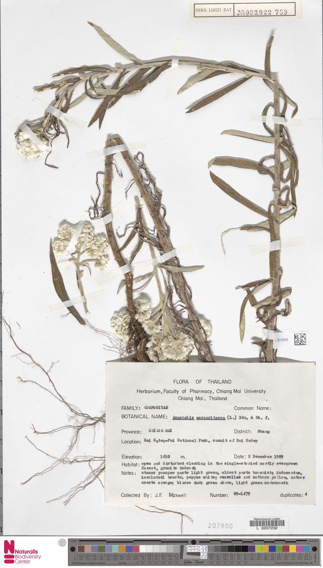 L.3015028 | Anaphalis margaritacea (L.) Benth. & Hook.f.