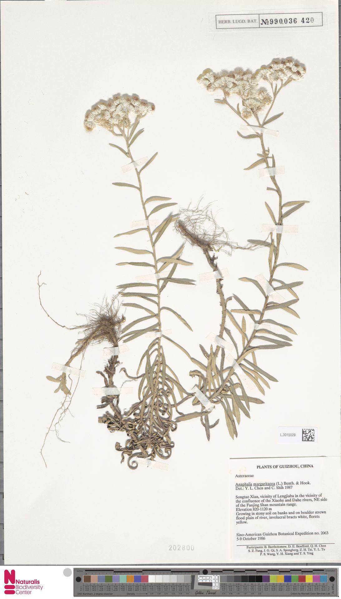 L.3015029 | Anaphalis margaritacea (L.) Benth. & Hook.f.