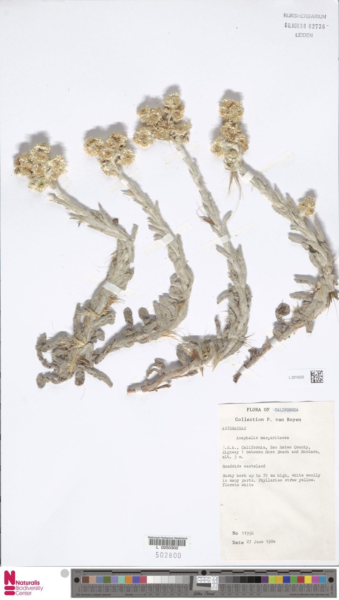 L.3015032 | Anaphalis margaritacea (L.) Benth. & Hook.f.