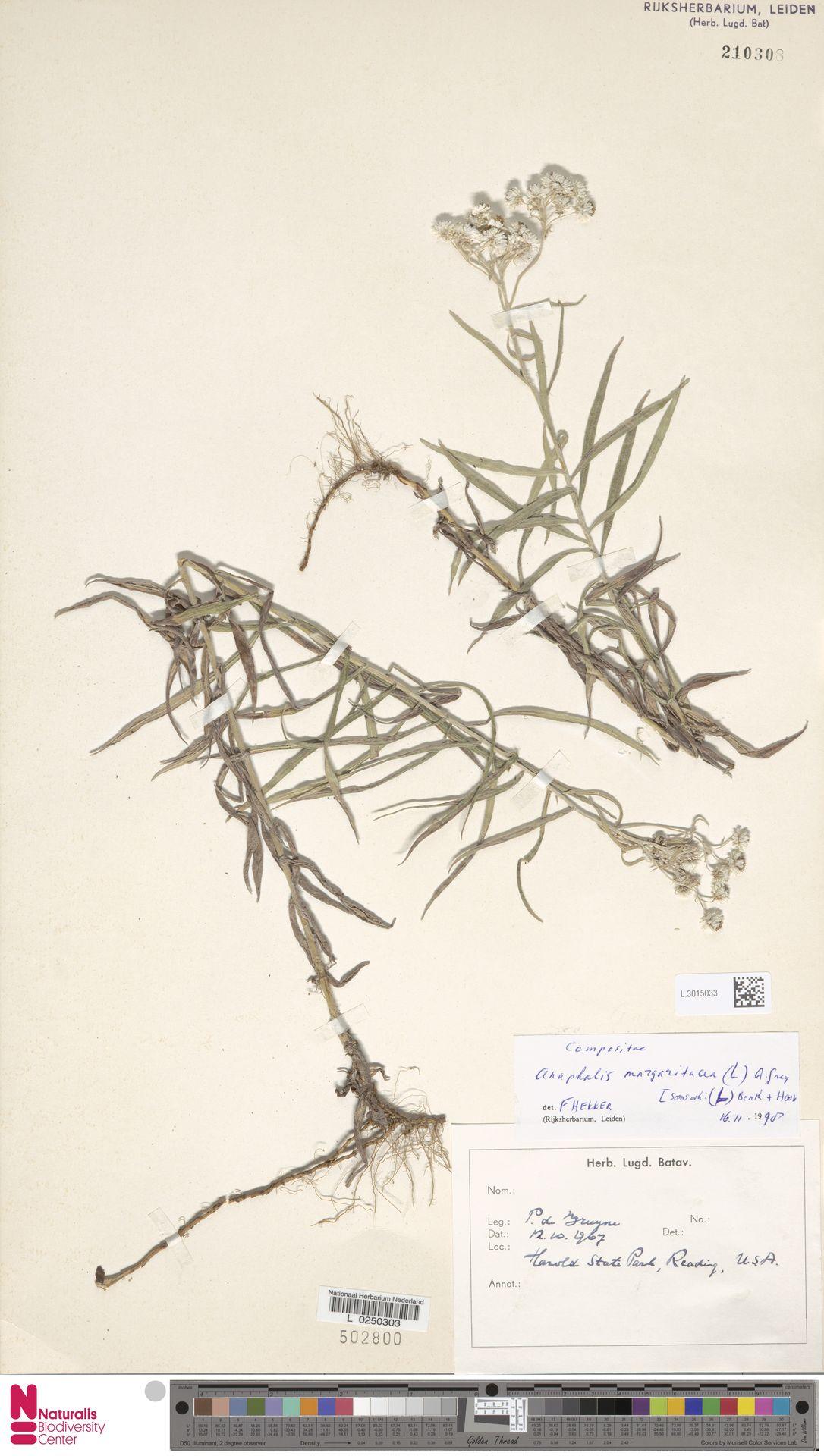 L.3015033 | Anaphalis margaritacea (L.) Benth. & Hook.f.