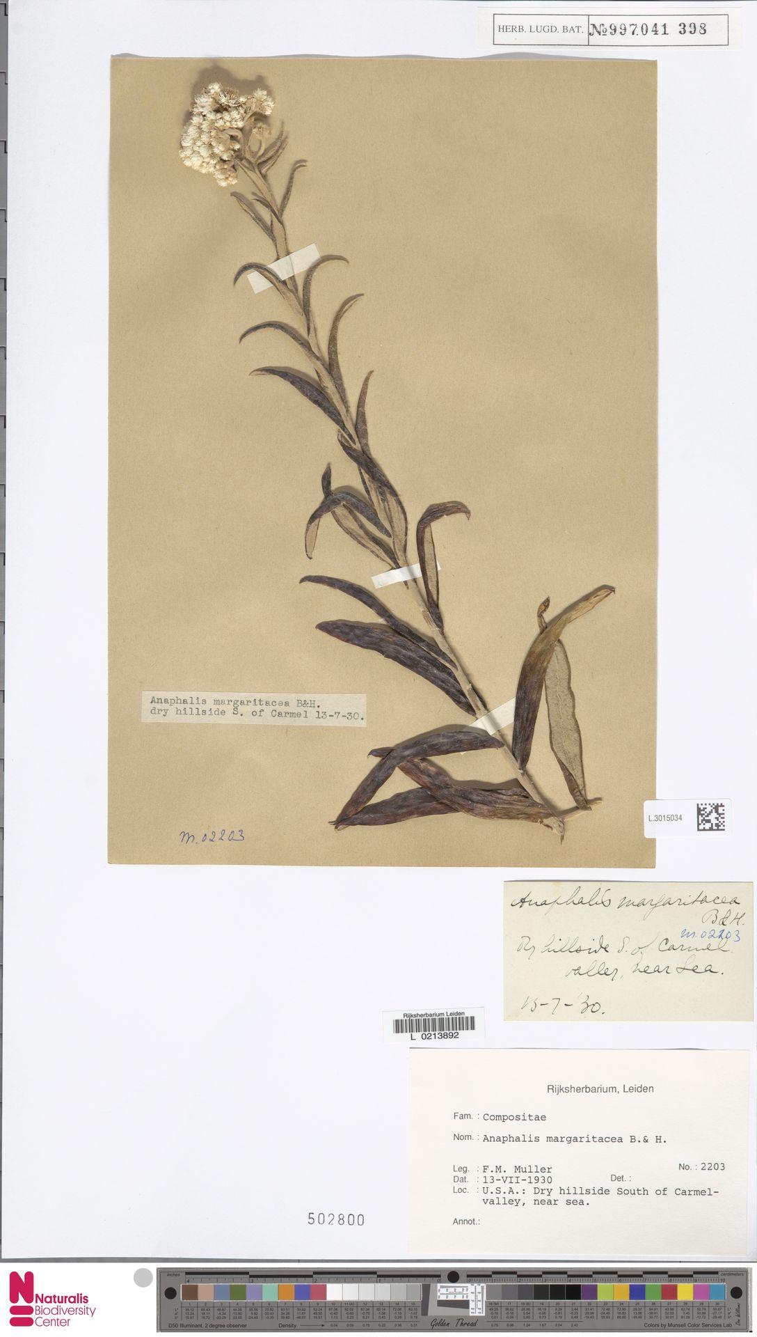 L.3015034 | Anaphalis margaritacea (L.) Benth. & Hook.f.