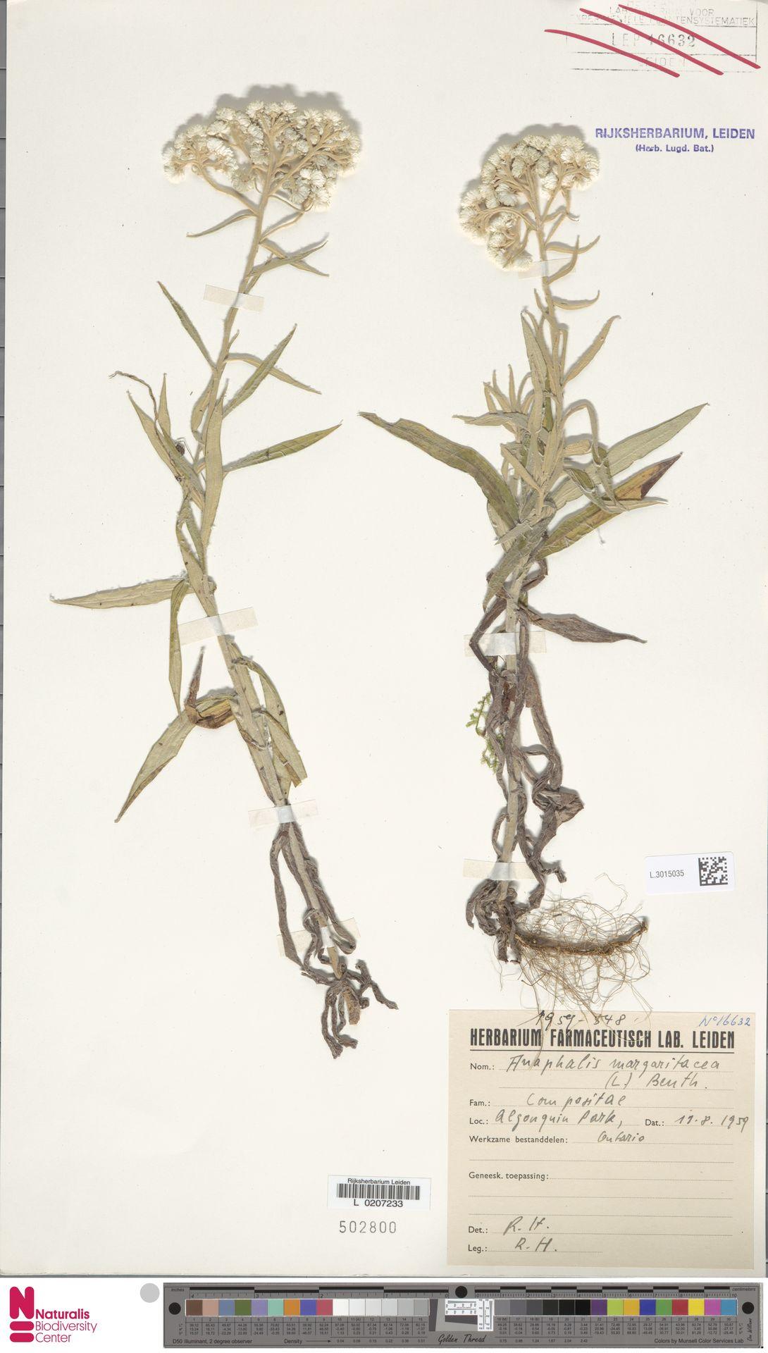 L.3015035 | Anaphalis margaritacea (L.) Benth. & Hook.f.