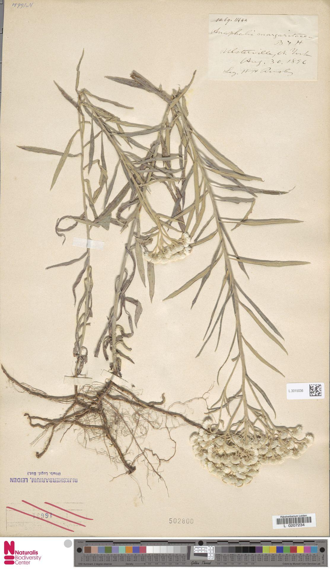 L.3015036   Anaphalis margaritacea (L.) Benth. & Hook.f.