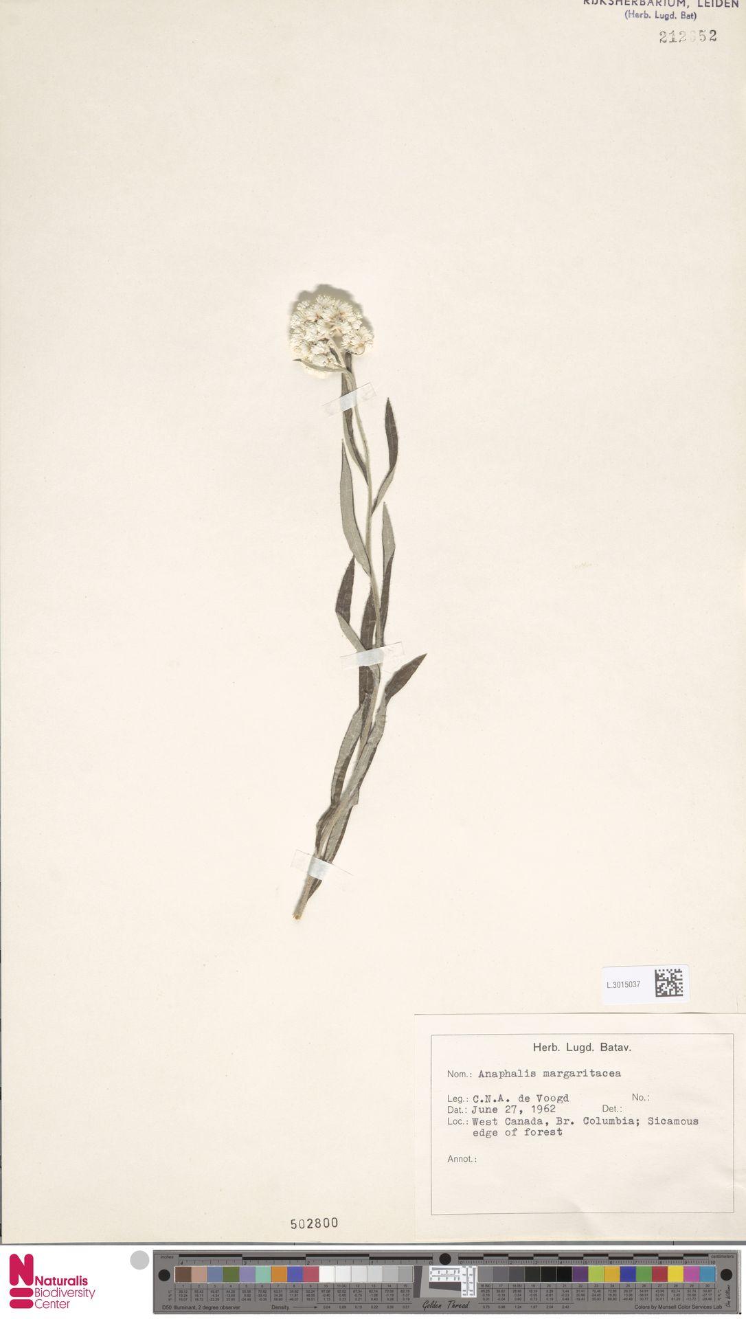 L.3015037   Anaphalis margaritacea (L.) Benth. & Hook.f.
