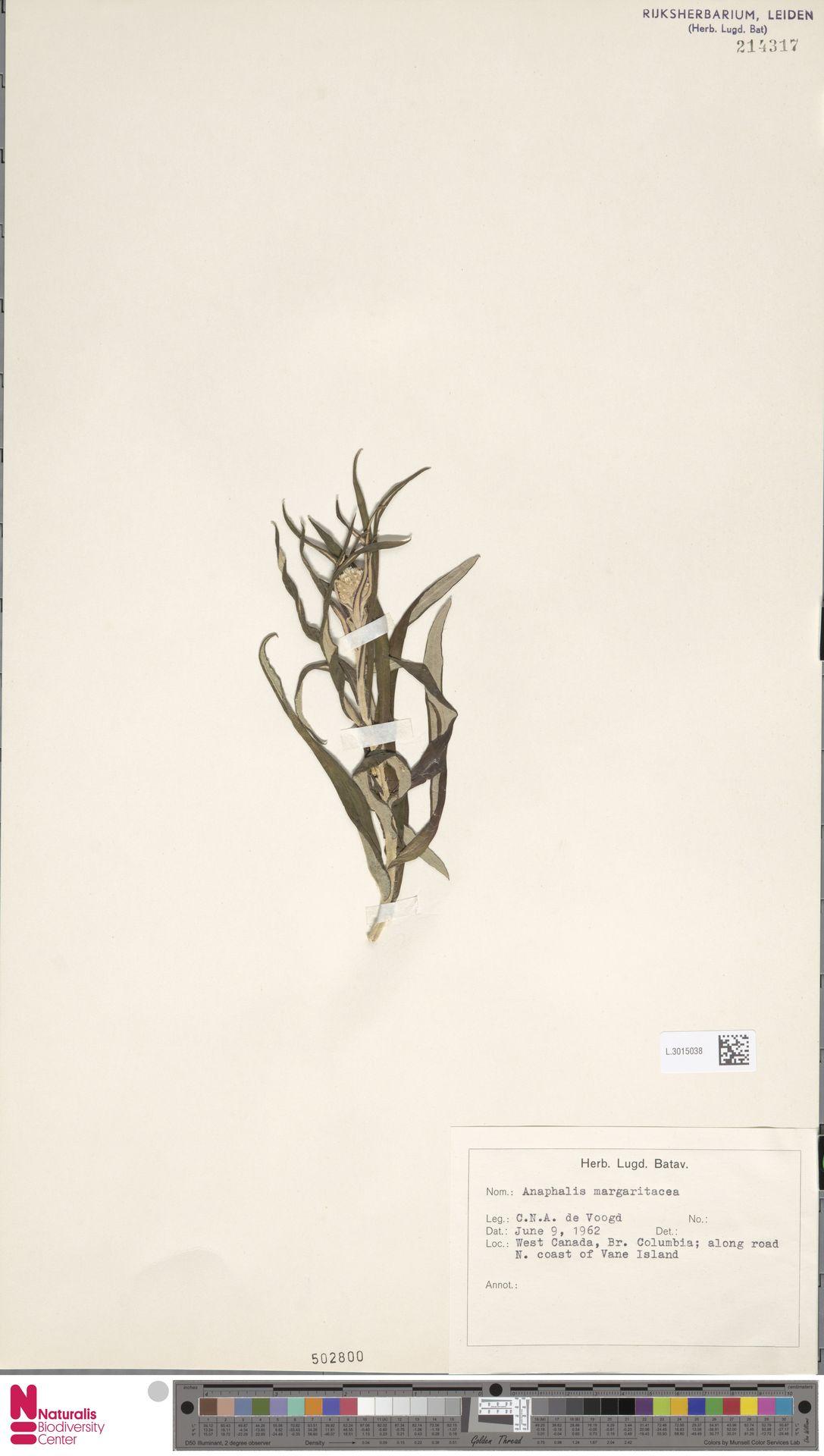 L.3015038 | Anaphalis margaritacea (L.) Benth. & Hook.f.