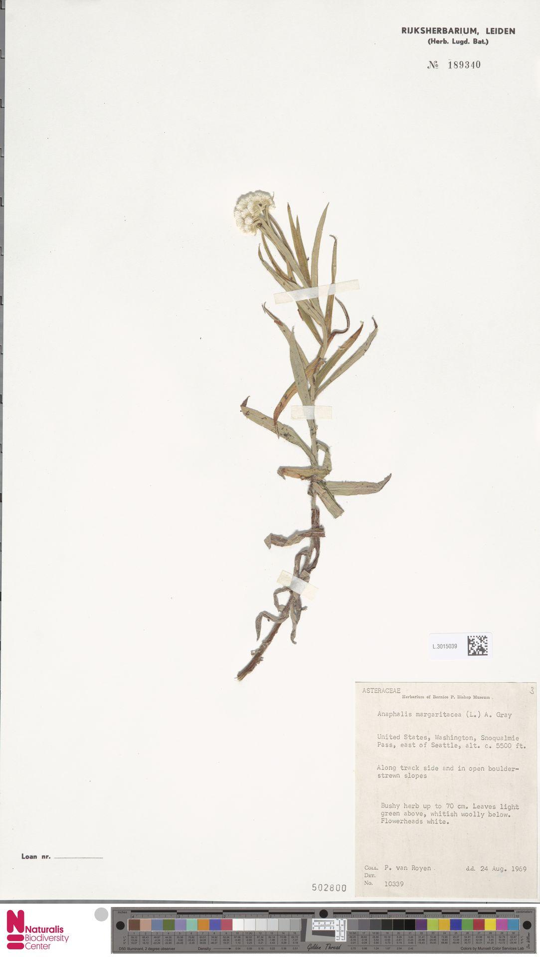 L.3015039 | Anaphalis margaritacea (L.) Benth. & Hook.f.