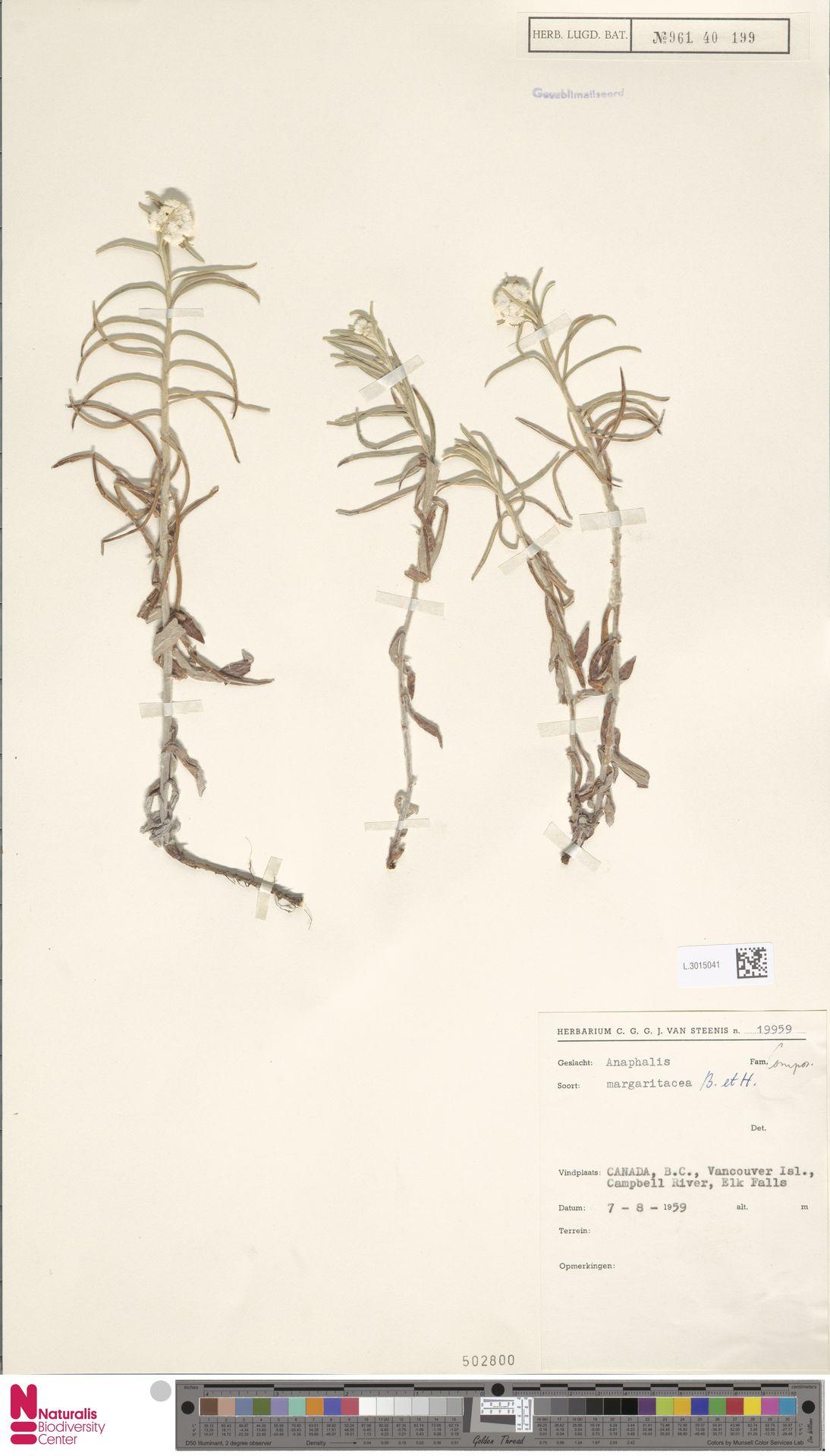 L.3015041 | Anaphalis margaritacea (L.) Benth. & Hook.f.