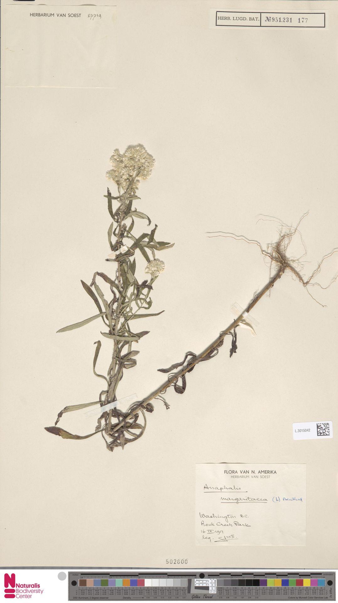 L.3015042 | Anaphalis margaritacea (L.) Benth. & Hook.f.