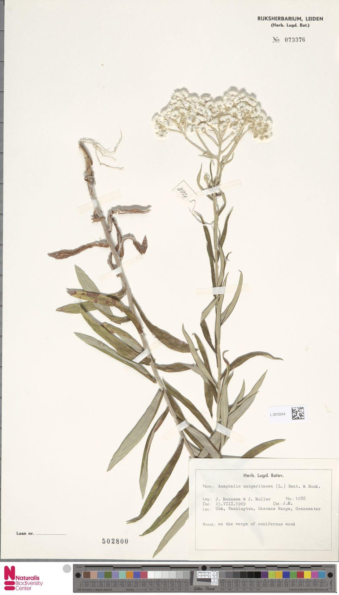 L.3015044 | Anaphalis margaritacea (L.) Benth. & Hook.f.