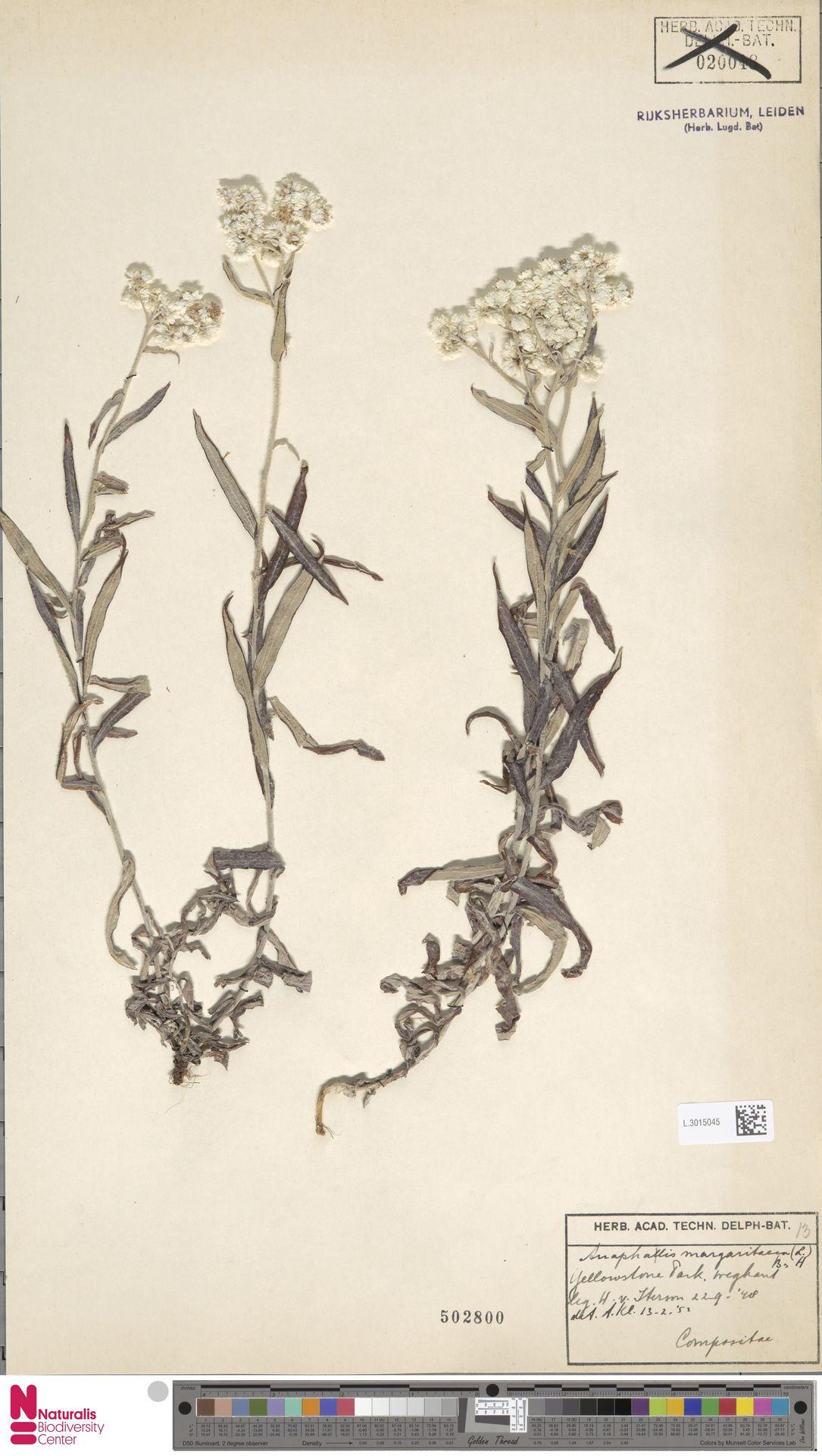 L.3015045 | Anaphalis margaritacea (L.) Benth. & Hook.f.