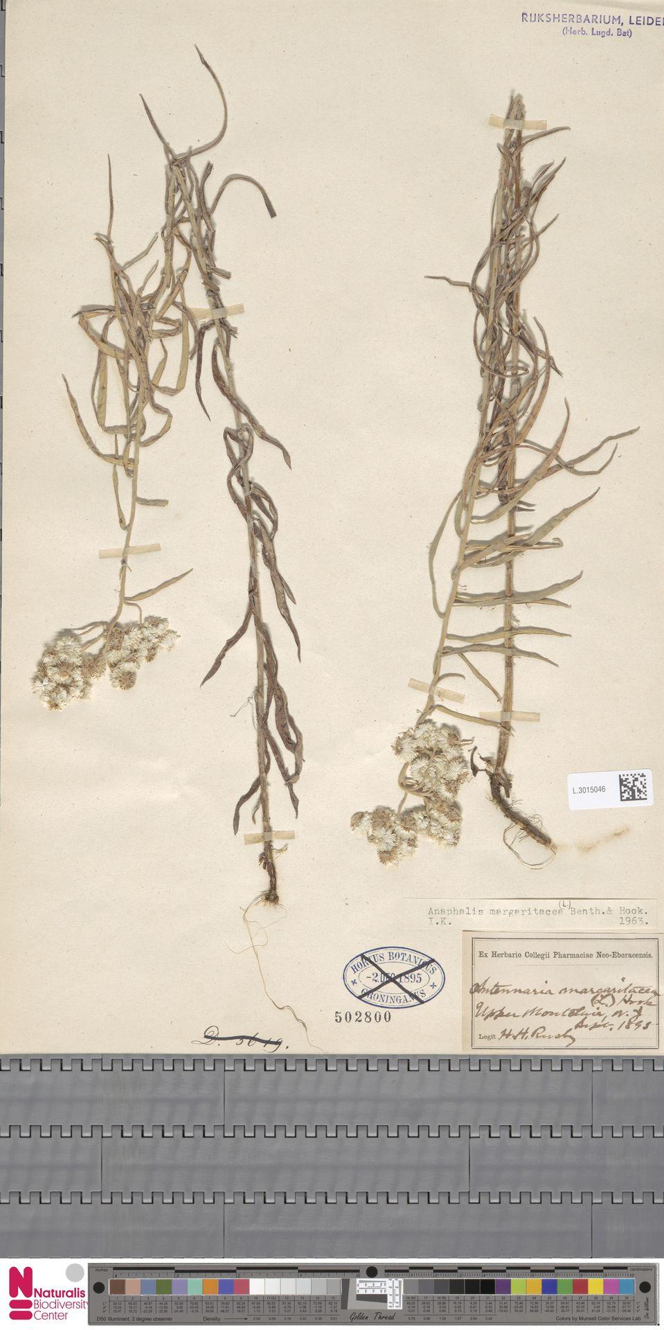 L.3015046   Anaphalis margaritacea (L.) Benth. & Hook.f.