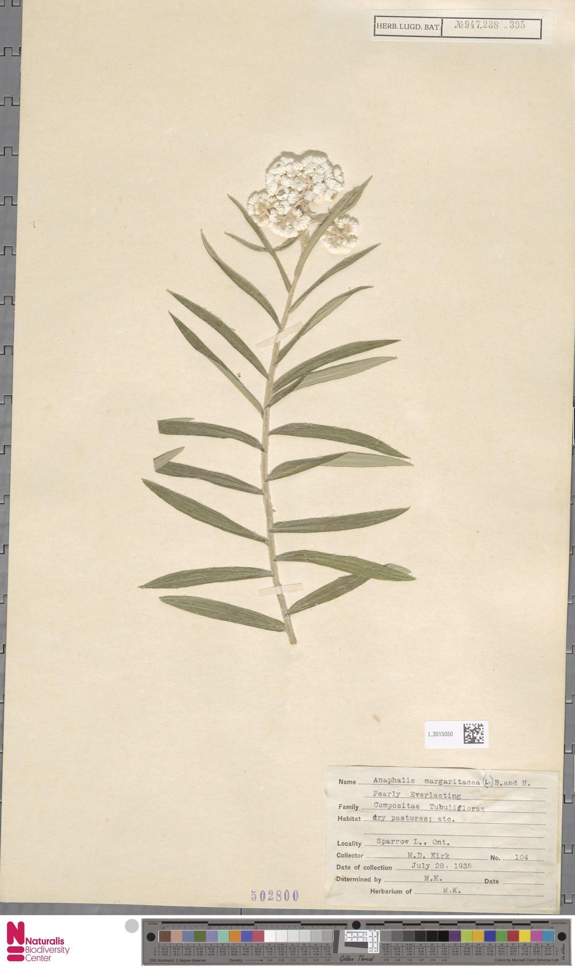 L.3015050 | Anaphalis margaritacea (L.) Benth. & Hook.f.