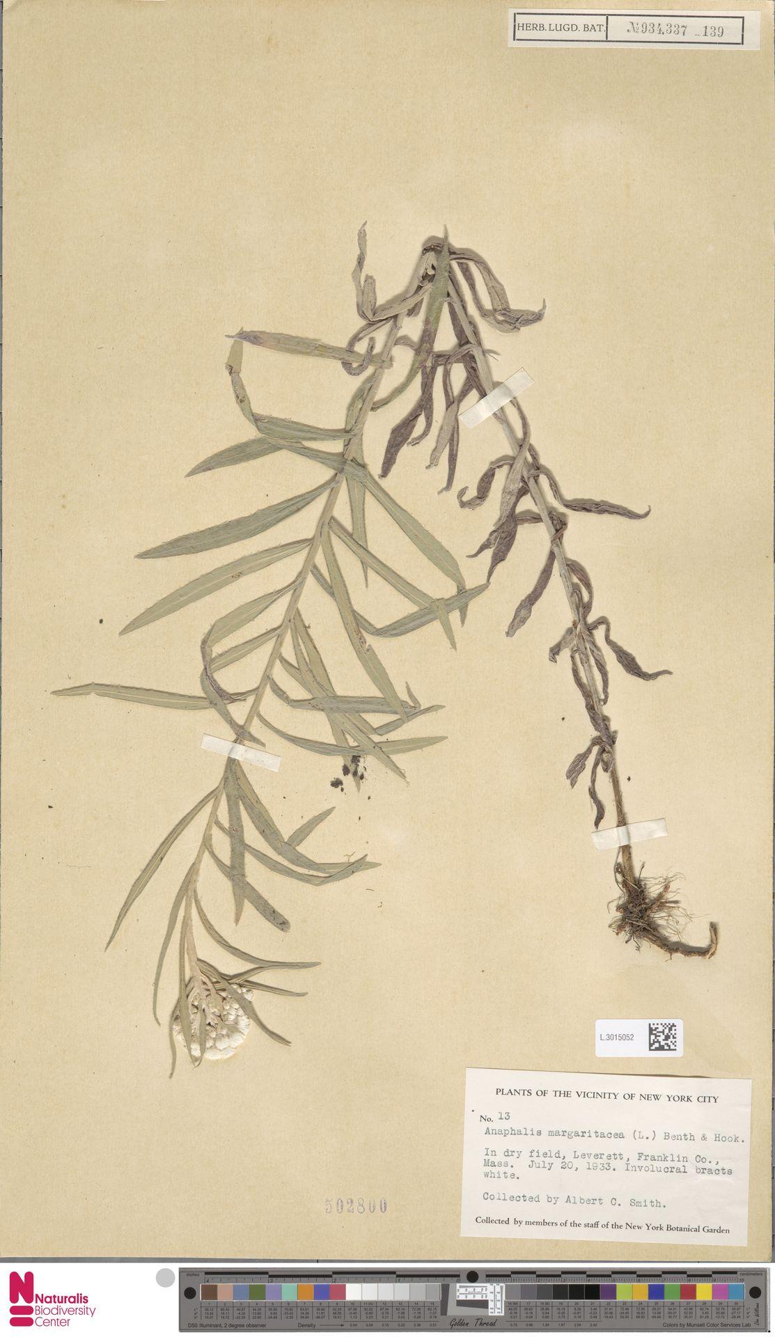 L.3015052 | Anaphalis margaritacea (L.) Benth. & Hook.f.