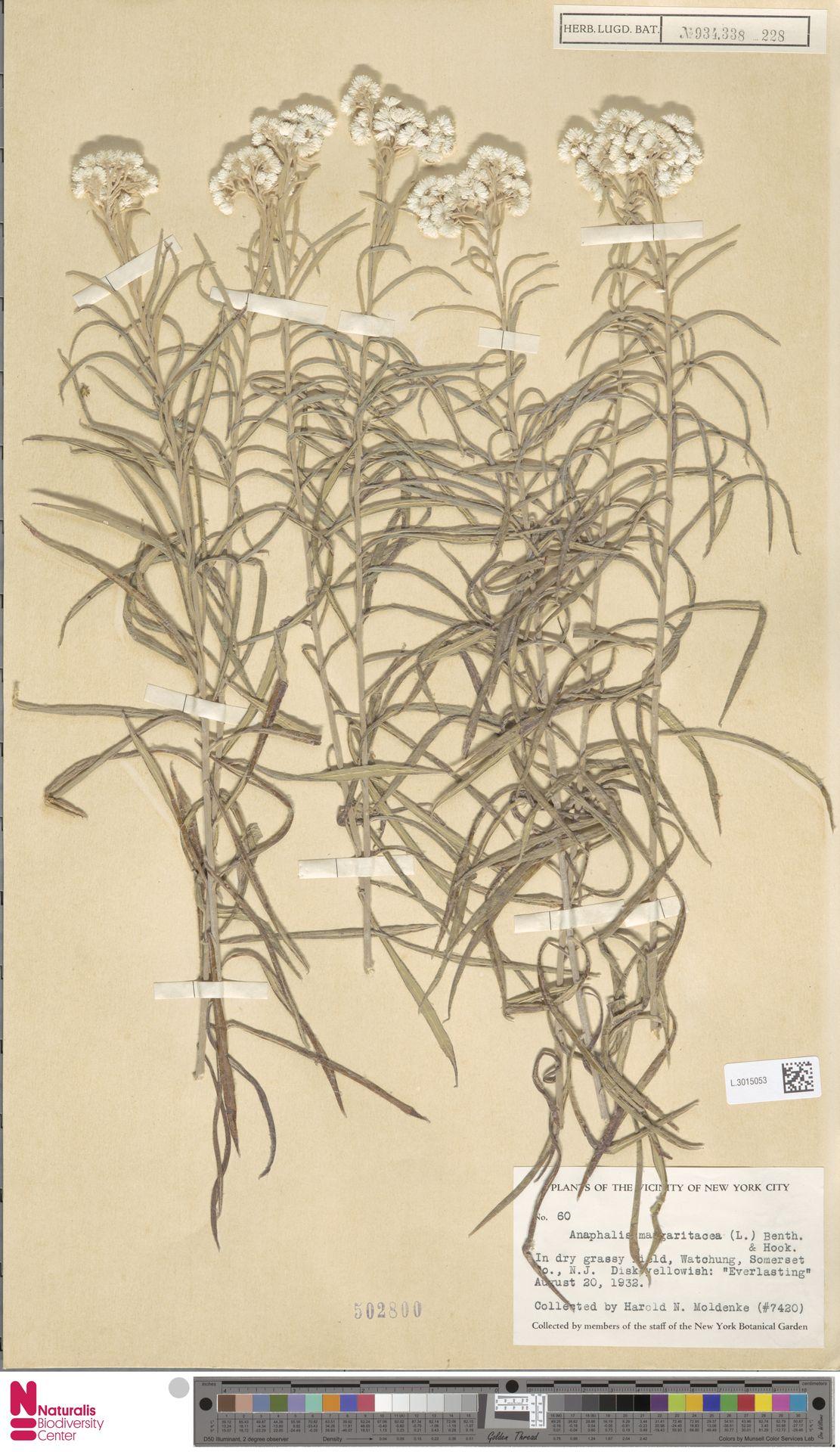 L.3015053 | Anaphalis margaritacea (L.) Benth. & Hook.f.