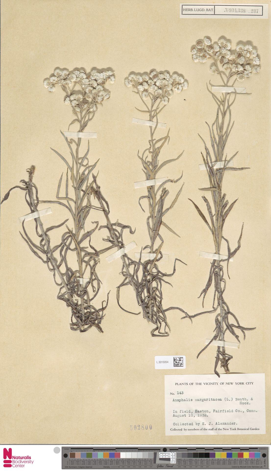 L.3015054 | Anaphalis margaritacea (L.) Benth. & Hook.f.
