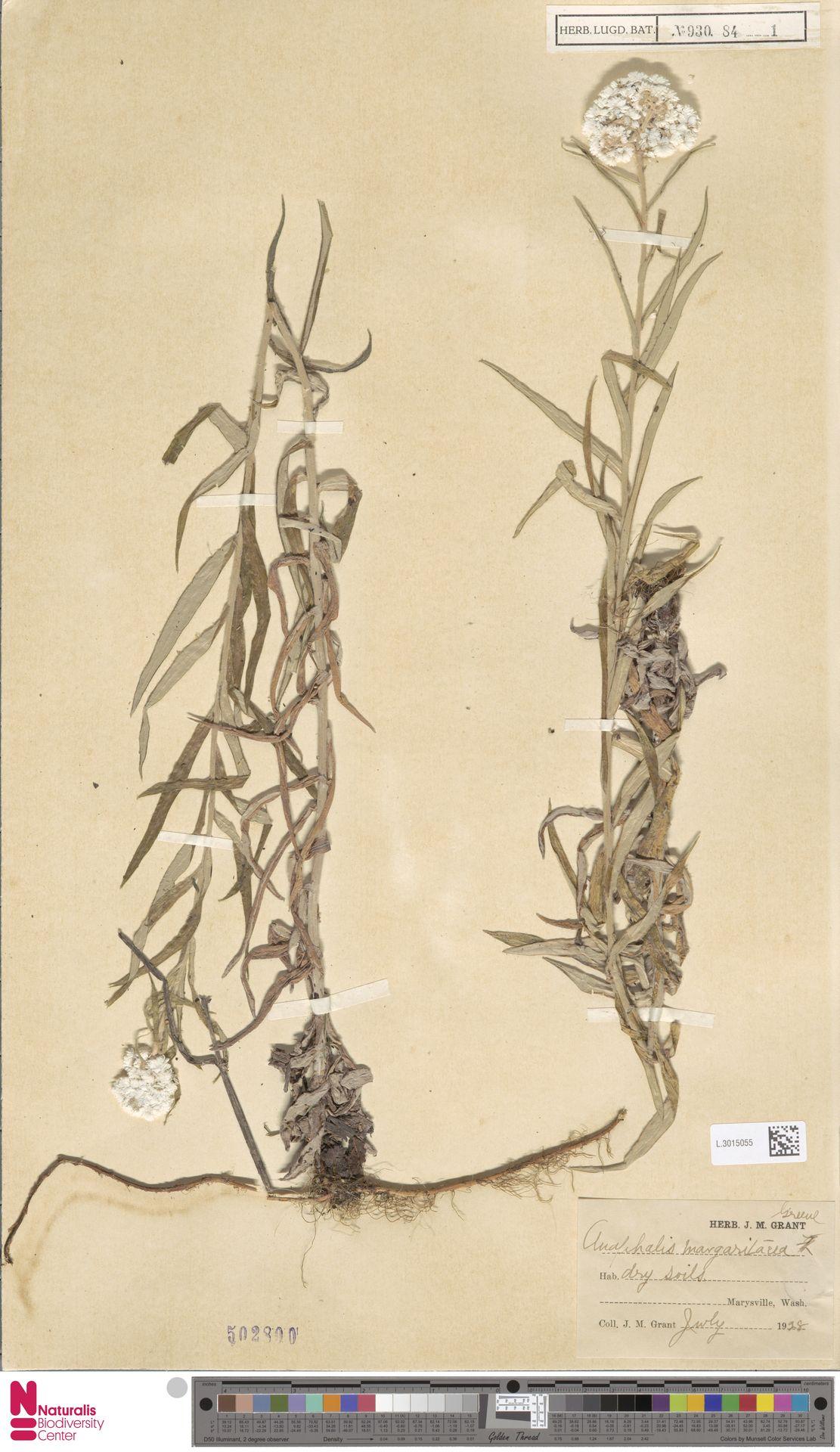 L.3015055 | Anaphalis margaritacea (L.) Benth. & Hook.f.