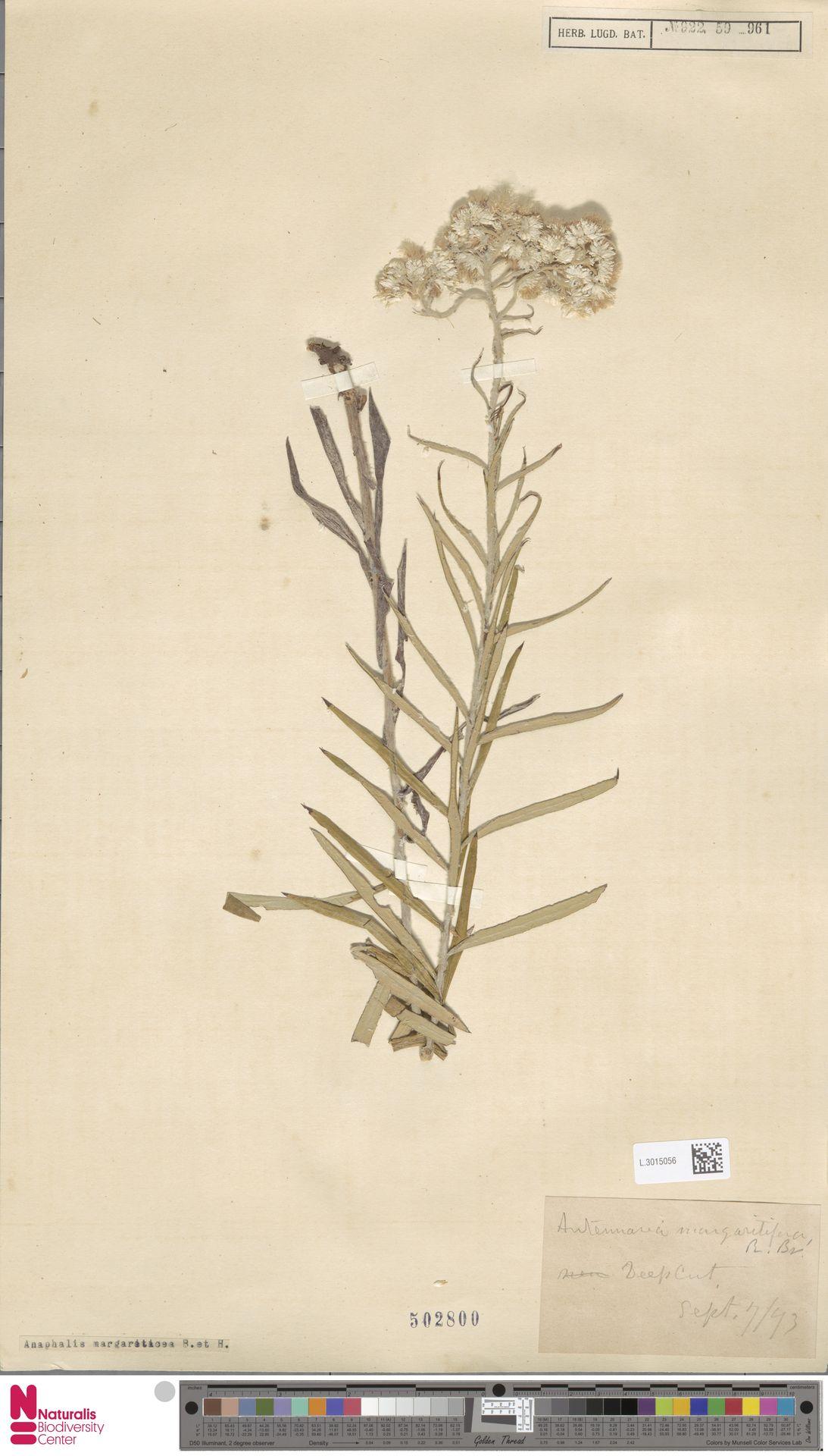 L.3015056 | Anaphalis margaritacea (L.) Benth. & Hook.f.