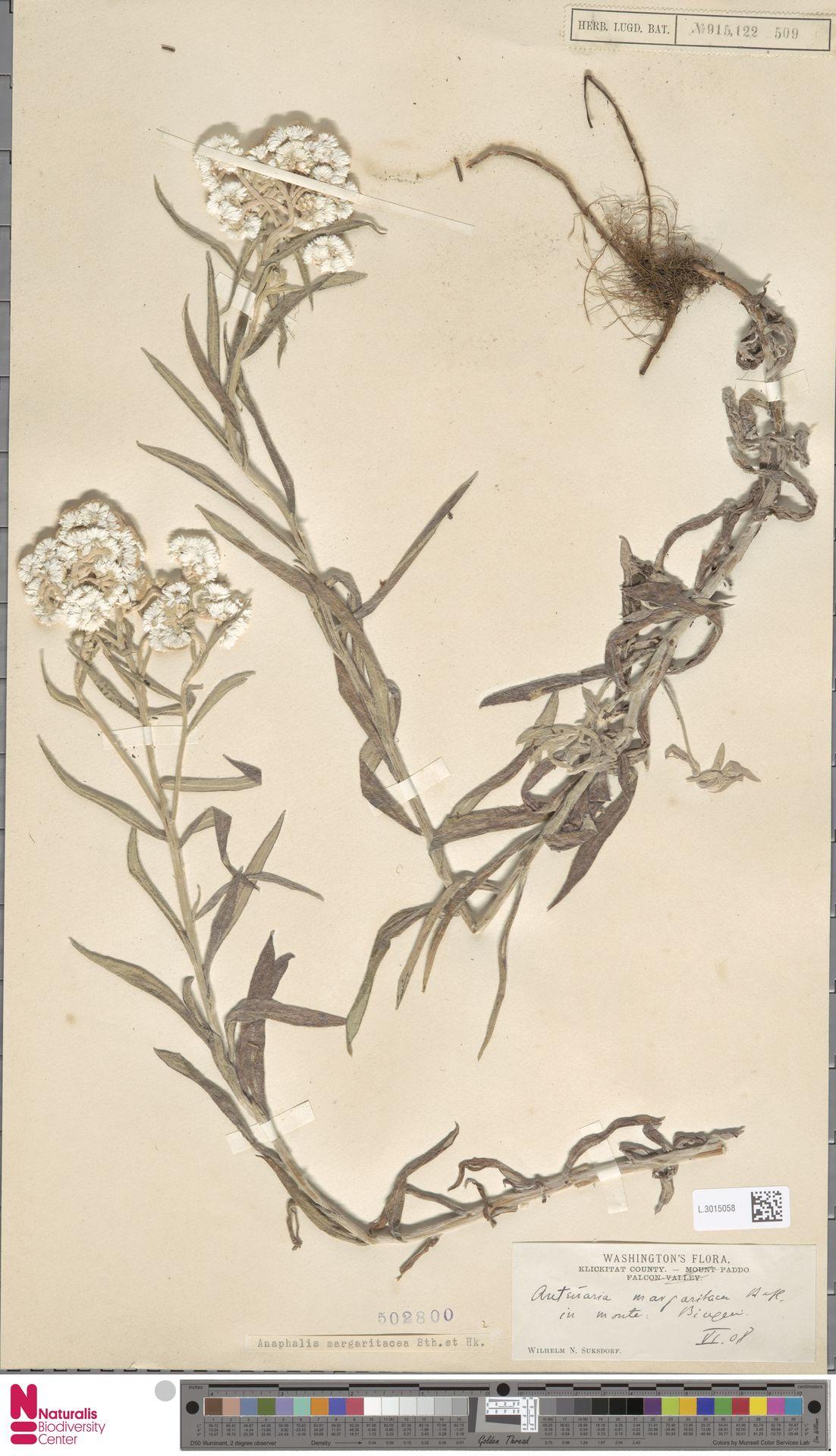 L.3015058 | Anaphalis margaritacea (L.) Benth. & Hook.f.