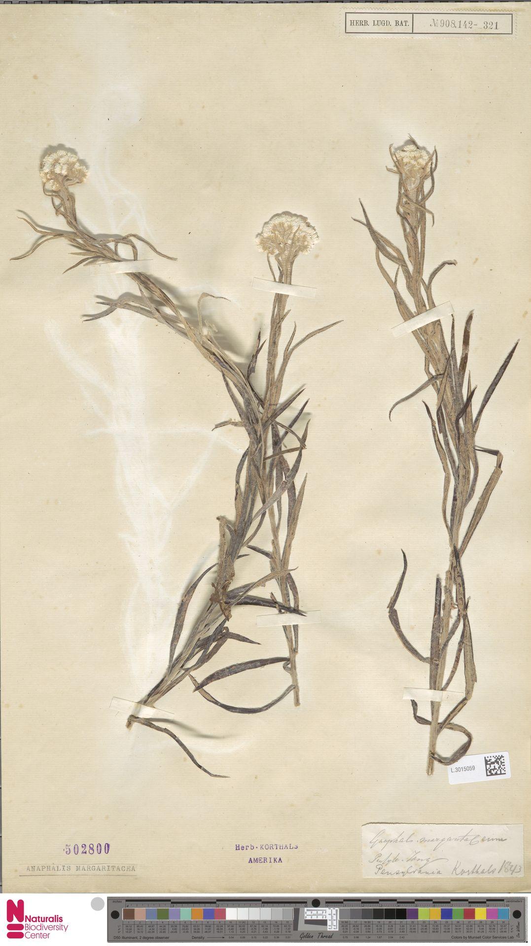 L.3015059 | Anaphalis margaritacea (L.) Benth. & Hook.f.