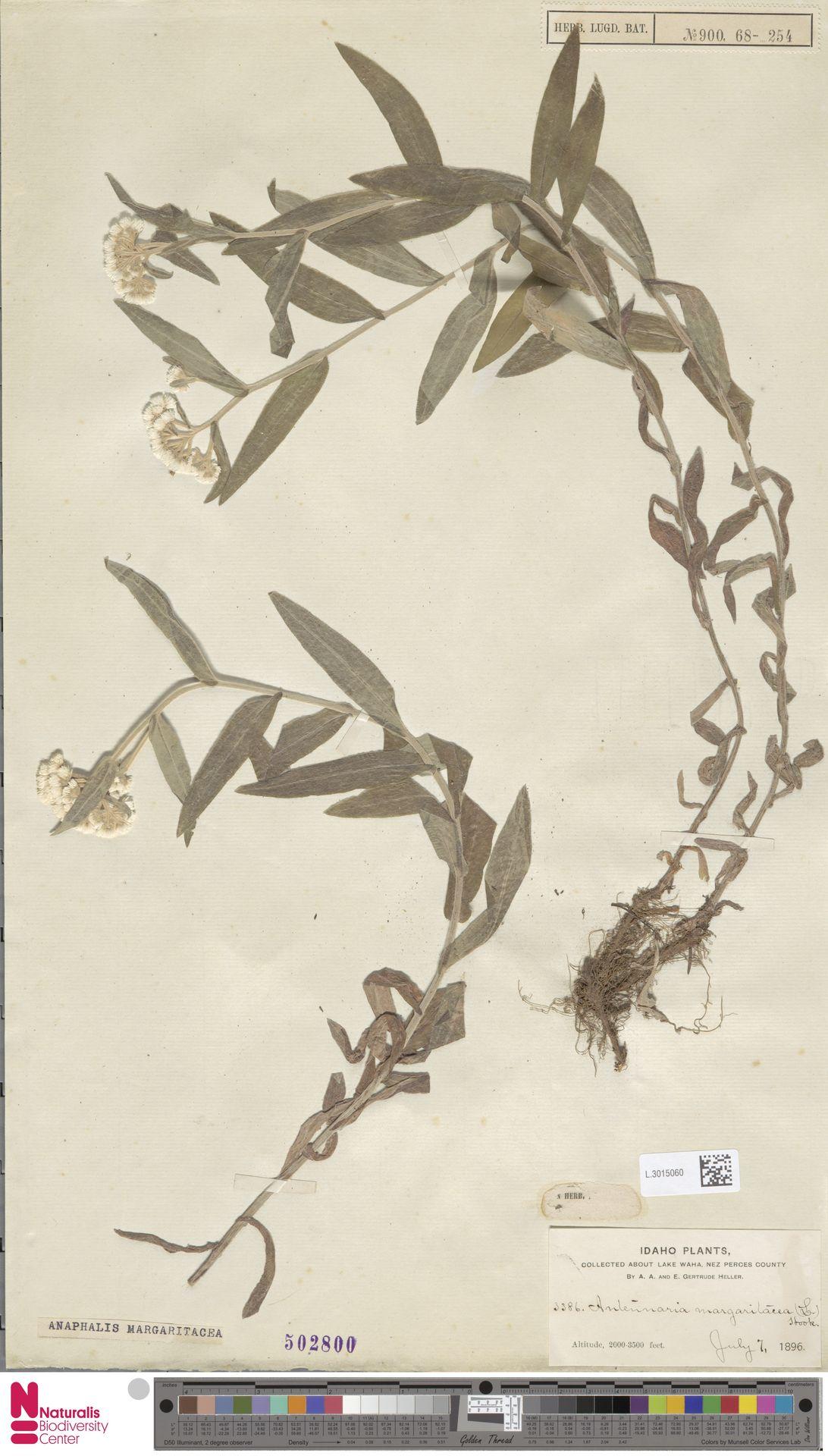 L.3015060 | Anaphalis margaritacea (L.) Benth. & Hook.f.