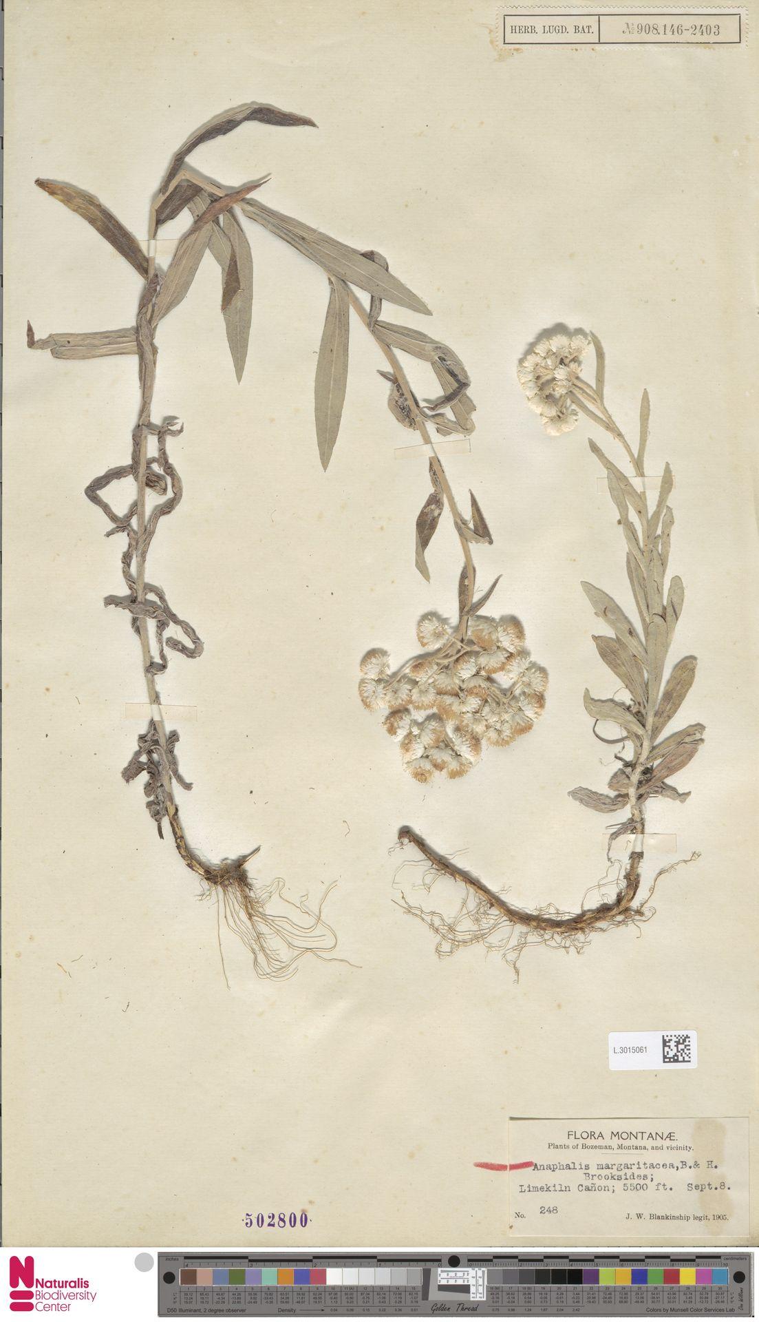 L.3015061 | Anaphalis margaritacea (L.) Benth. & Hook.f.
