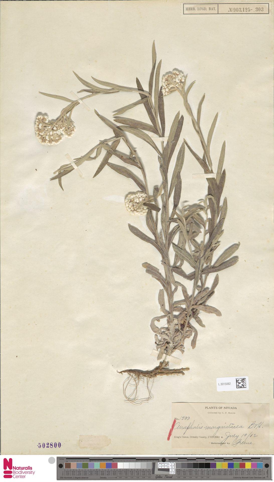 L.3015062 | Anaphalis margaritacea (L.) Benth. & Hook.f.