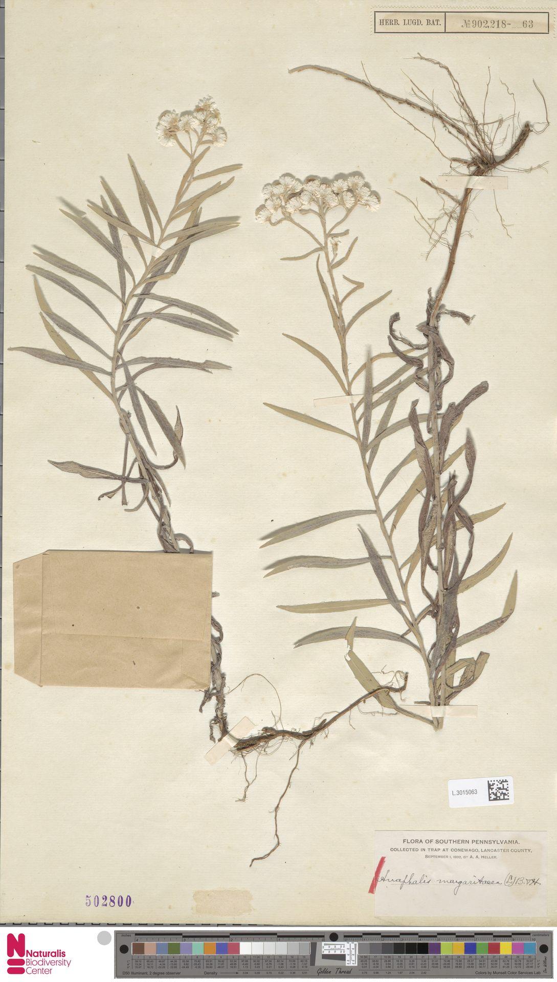 L.3015063 | Anaphalis margaritacea (L.) Benth. & Hook.f.