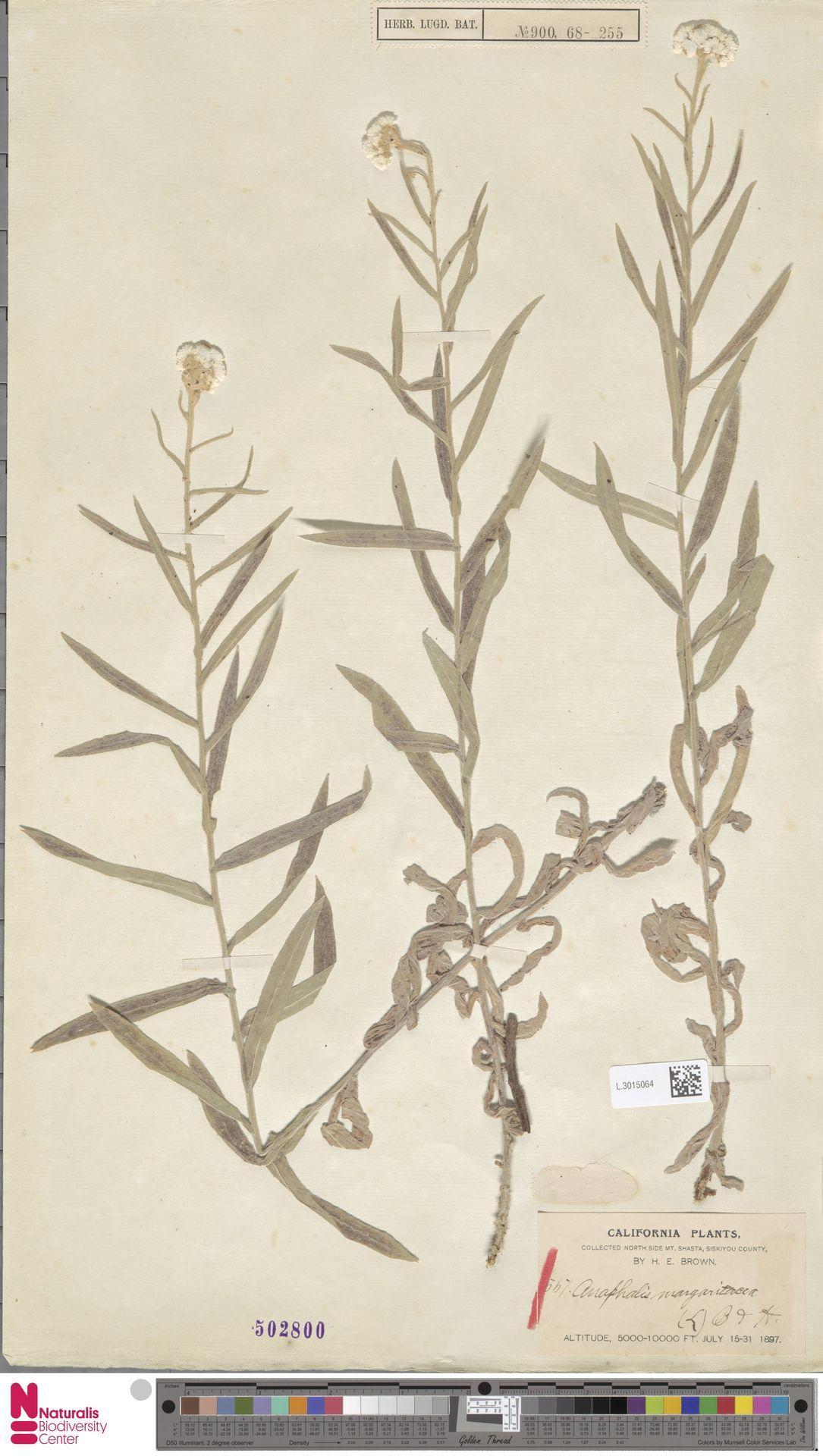 L.3015064   Anaphalis margaritacea (L.) Benth. & Hook.f.